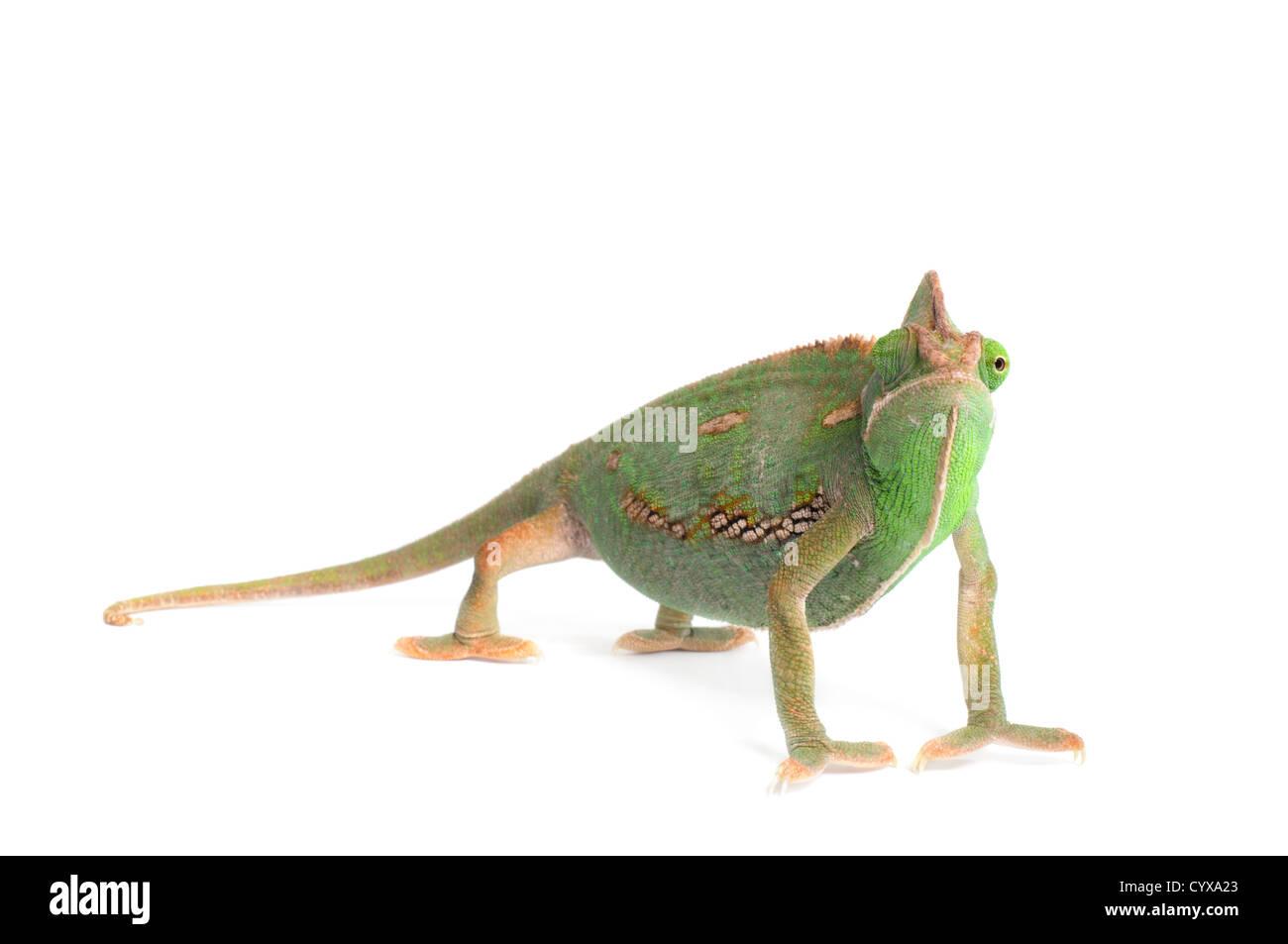 Veiled Chameleon (Chamaeleo calyptratus) on white background. - Stock Image
