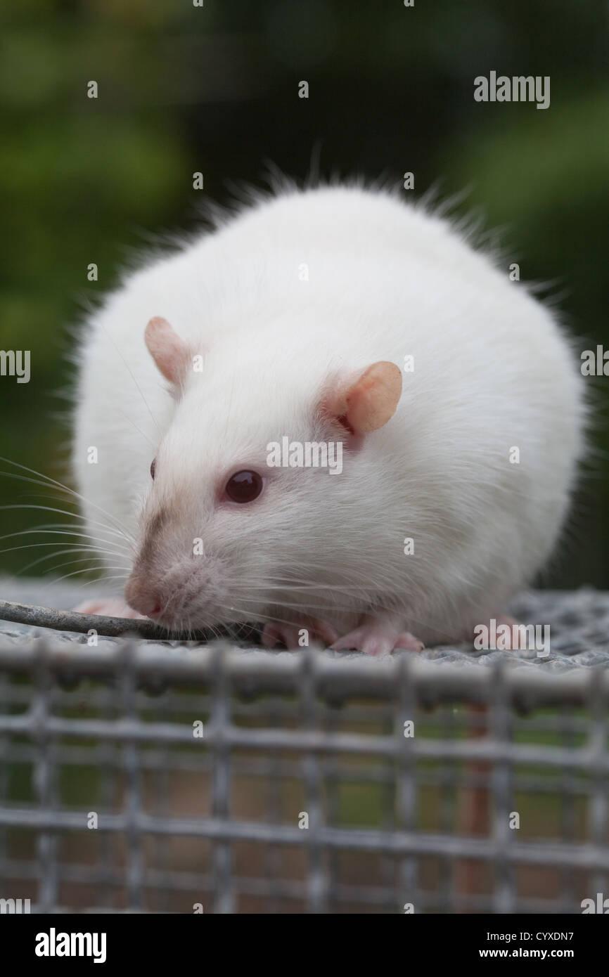 Rat Free Pregnant Tubes