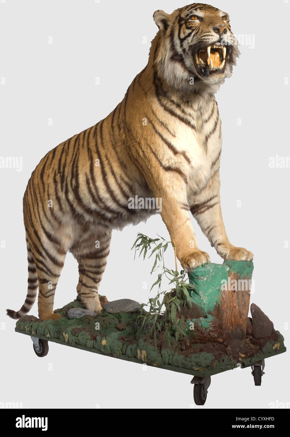 A Tiger, 20th Century Outstanding, extremely lifelike taxidermy specimen of a male tiger (Panthera tigris), for - Stock Image
