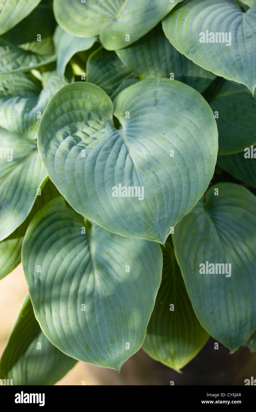 heart shaped plant leaves stock photos heart shaped plant leaves