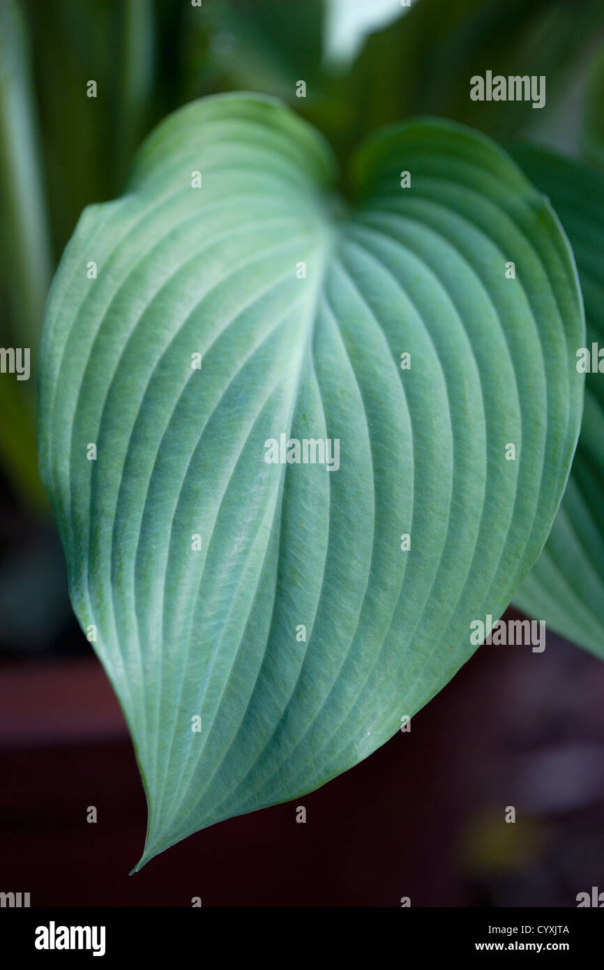 Plants Hosta Large Green Heart Shaped Leaves Stock Photo 51601994