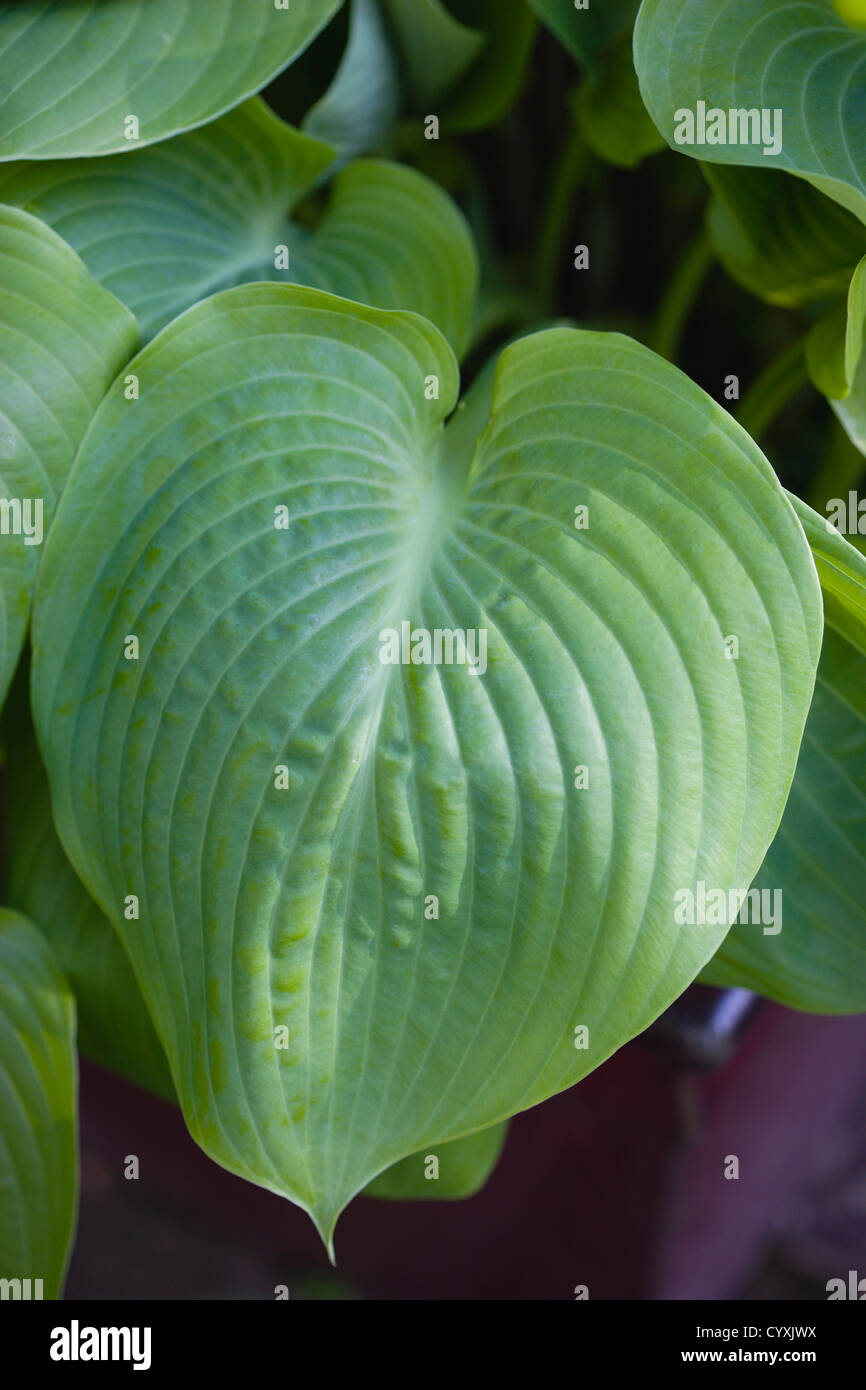 Plants Hosta Sum And Substance Large Heart Shaped Green Leaves Of