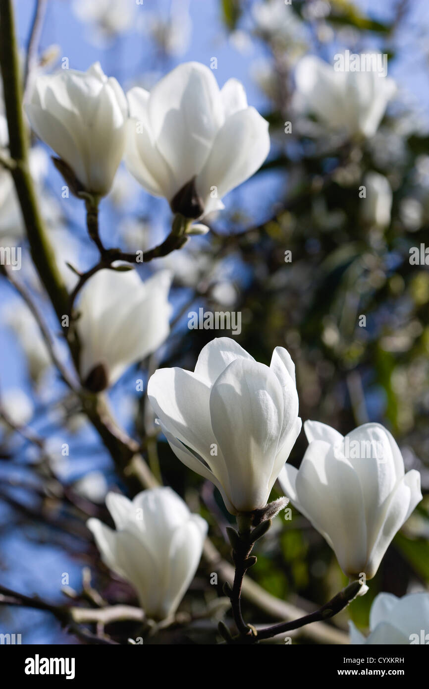 Plants Trees Magnolia Soulangeana Alba Superba Abundant White