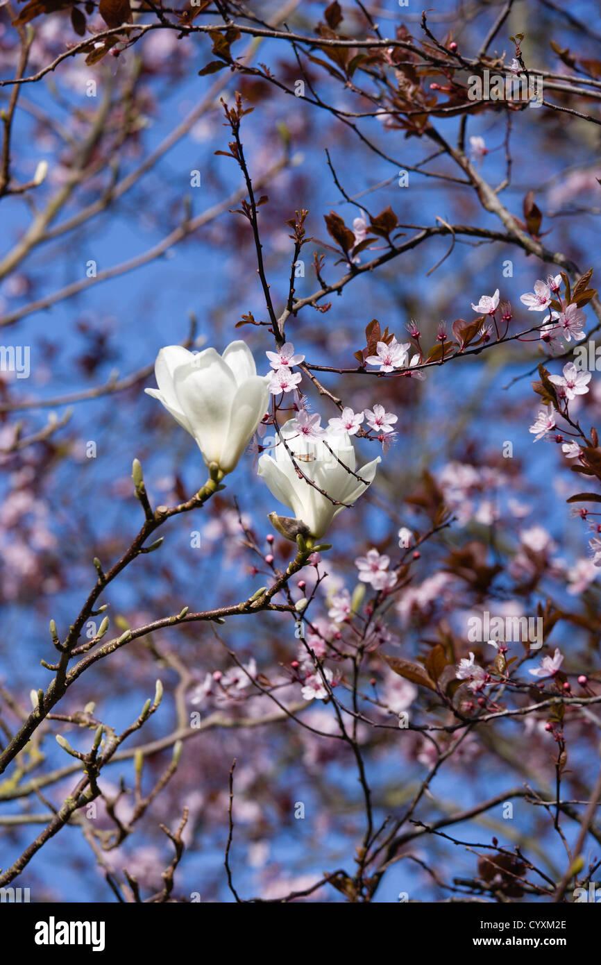 Plants Trees Magnolia Soulangeana Alba Superba White Flowers