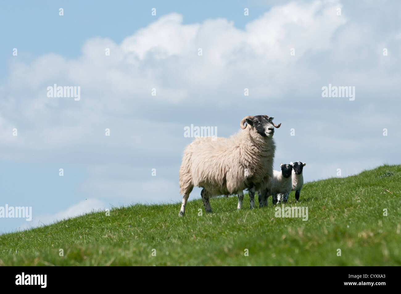 Scottish blackface sheep and new born lamb on hillside with blue sky and green grass, with horns and black face - Stock Image