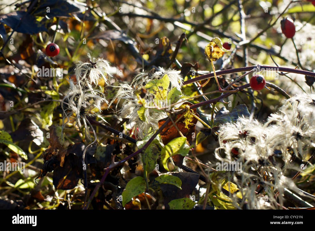 Old Man's Beard Clematis Vitalba and Rose Hips Haws growing in a downland hedgerow in November - Stock Image