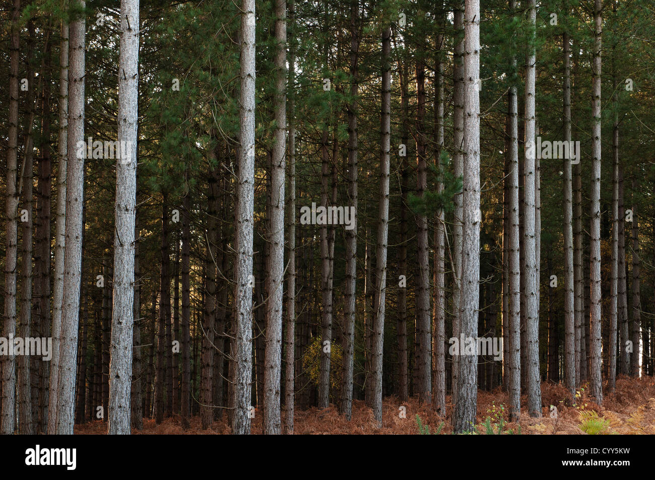 Conifer Woods The New Forest Hampshire England UK - Stock Image