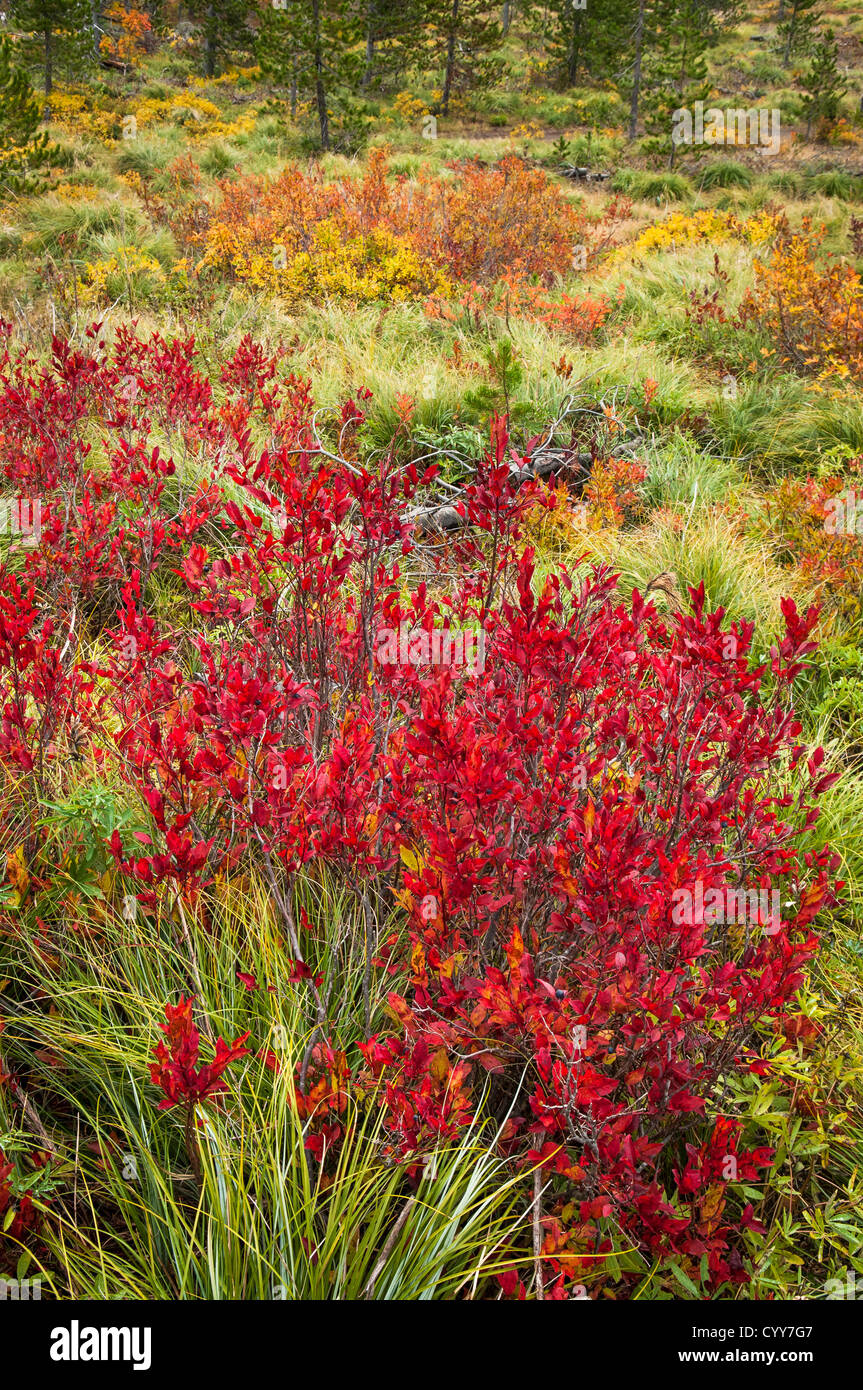 Huckleberry bushes in autumn at Sawtooth Berry Fields, Gifford Pinchot National Forest, Washington. - Stock Image