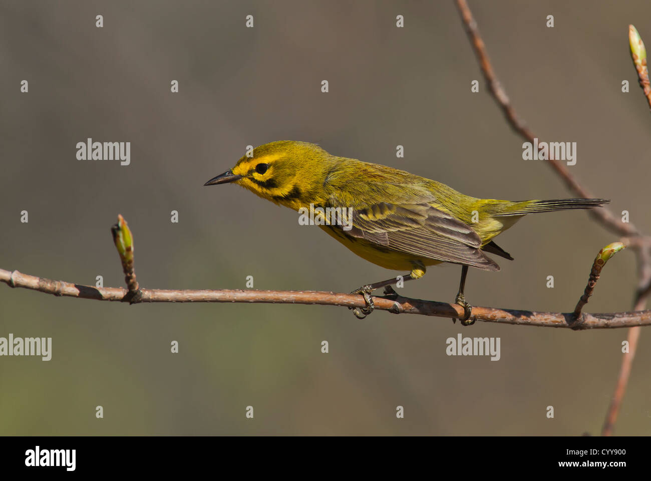 Prairie Warbler (Setophaga discolor) on a branch - Stock Image
