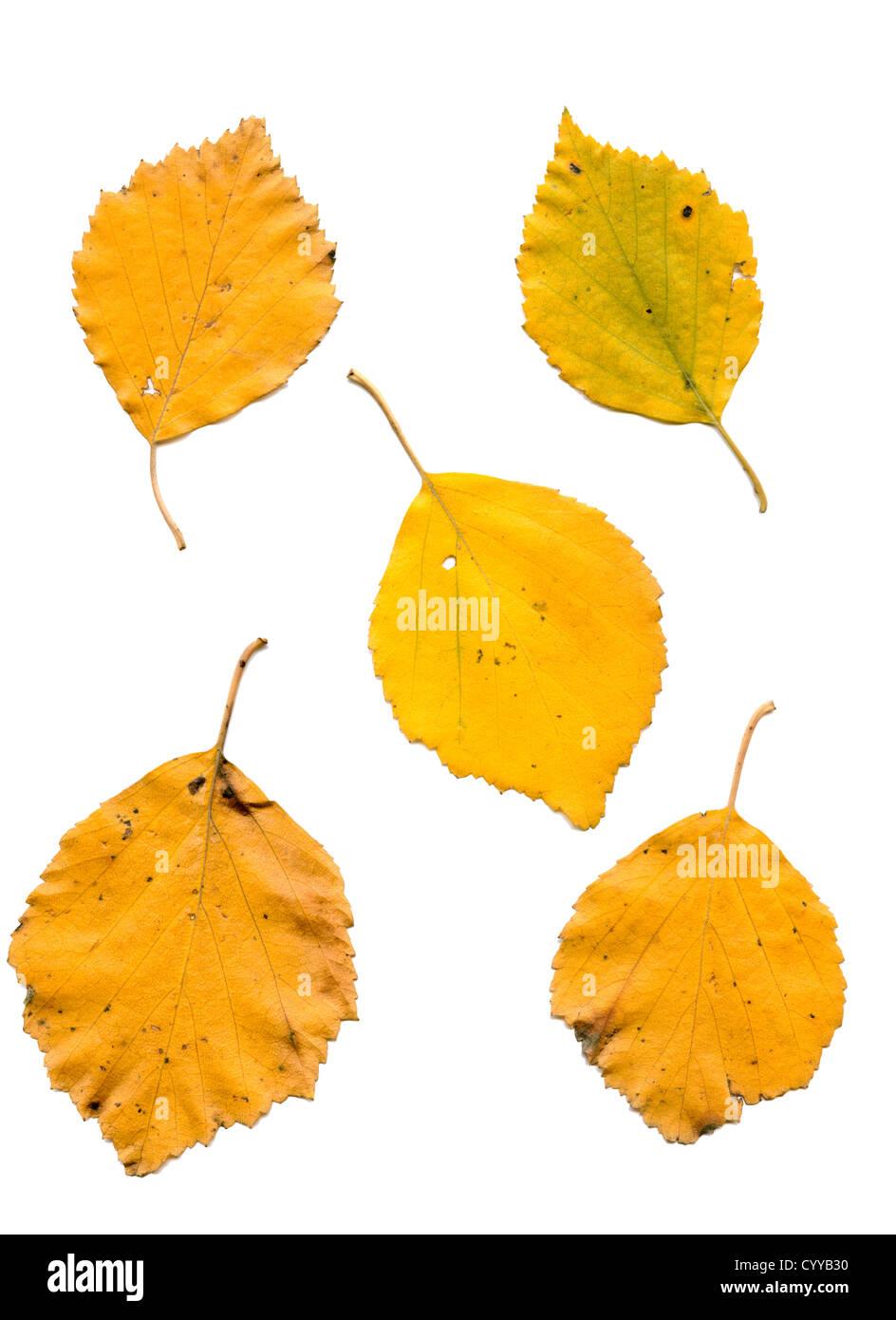 Fall Birch Leaf