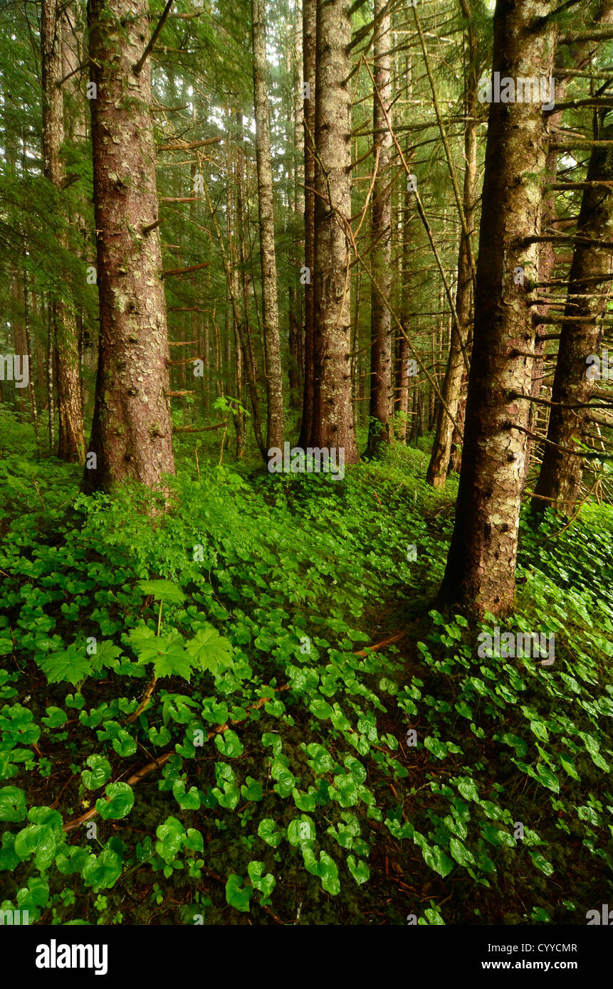 Hemlock forest on Wood Spit in Alaska's Tongass National Forest. - Stock Image