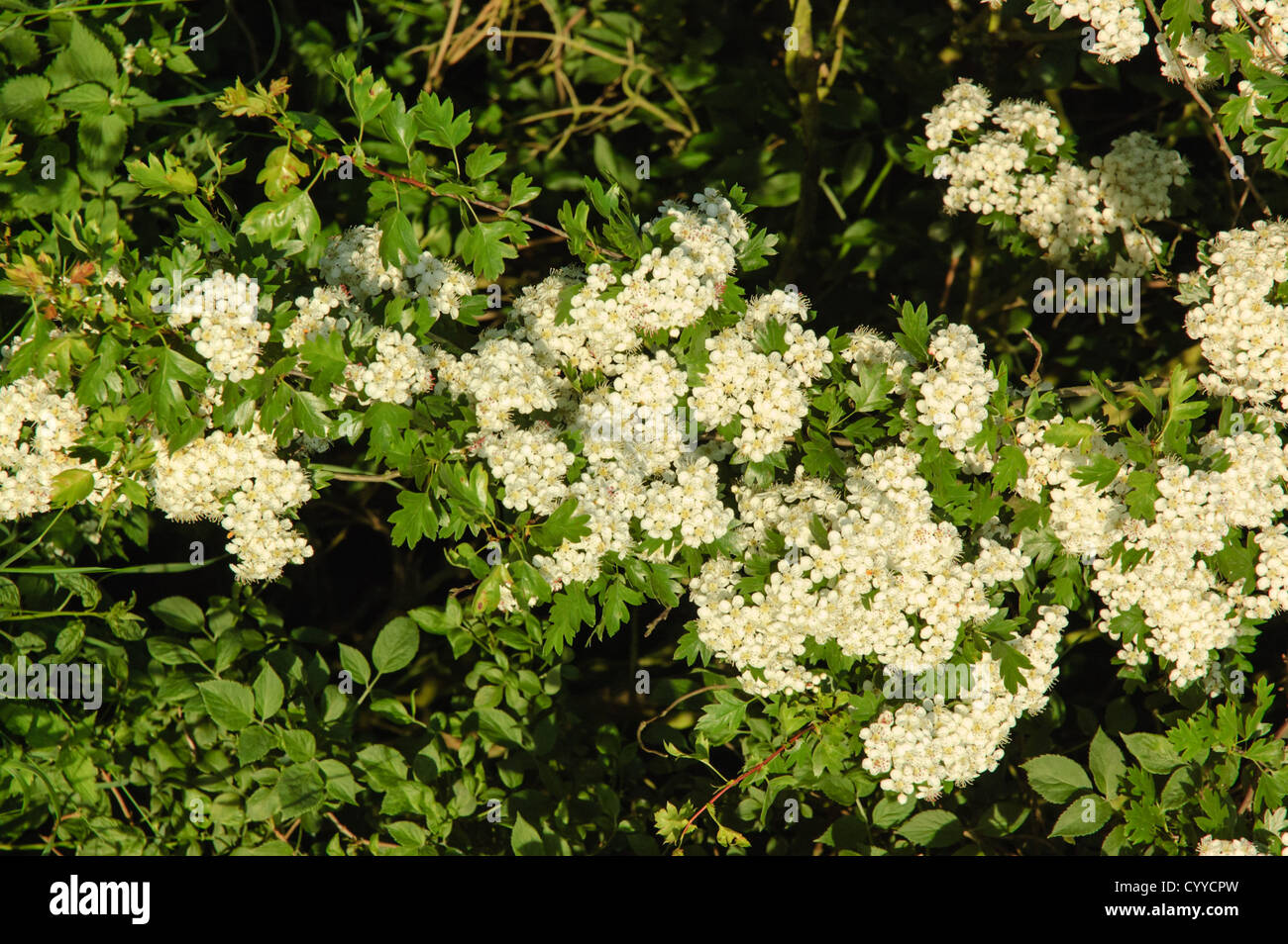 The white flowers of hawthorn crataegus monogyna also called may the white flowers of hawthorn crataegus monogyna also called may blossom characteristic of spring hedgerows in britain mightylinksfo