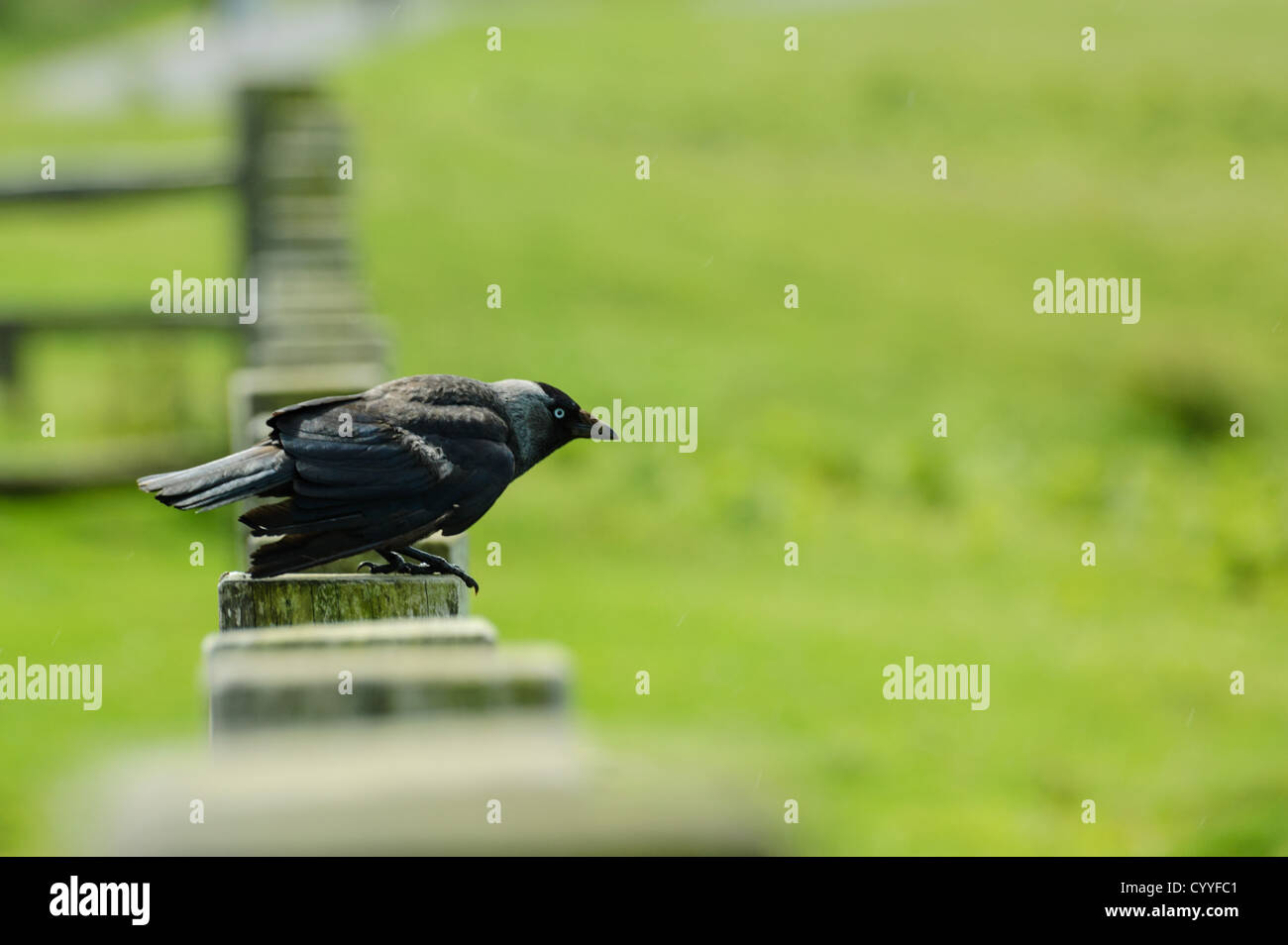 Jackdaw about to take off from perch on fence. - Stock Image