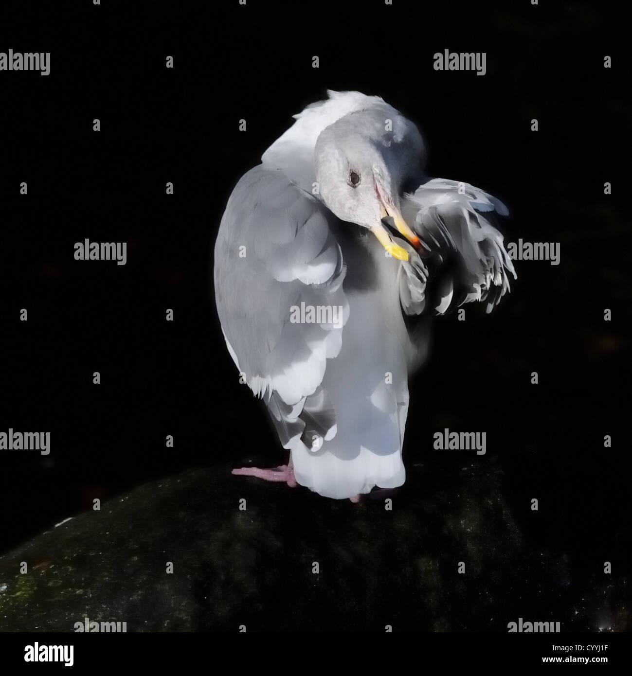 Preening Glaucous-winged Gull. Larus glaucescens  Courtenay, Vancouver Island, British Columbia, Canada - Stock Image