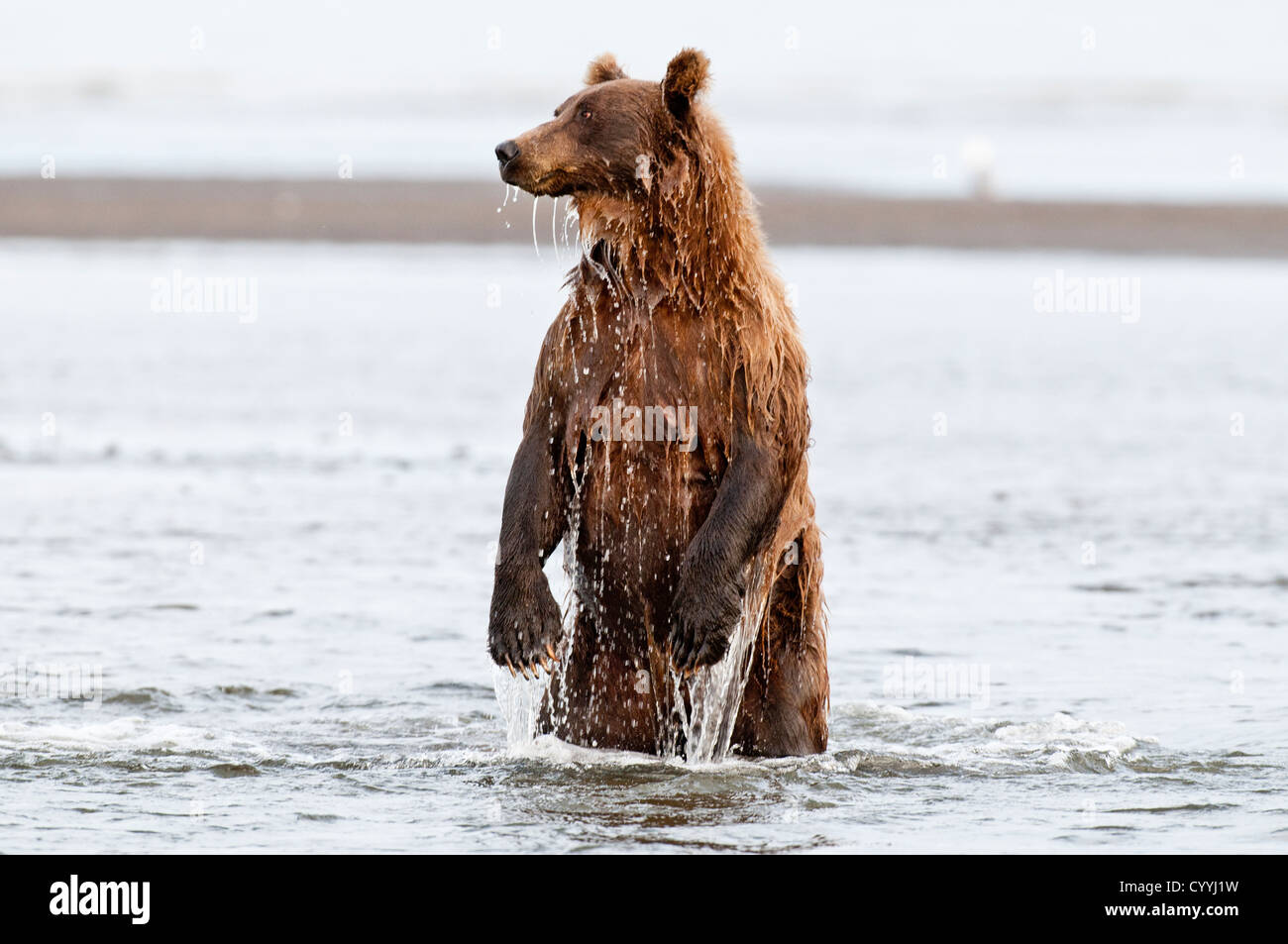 Brown Bear fishing; Lake Clark National Park, AK Stock Photo