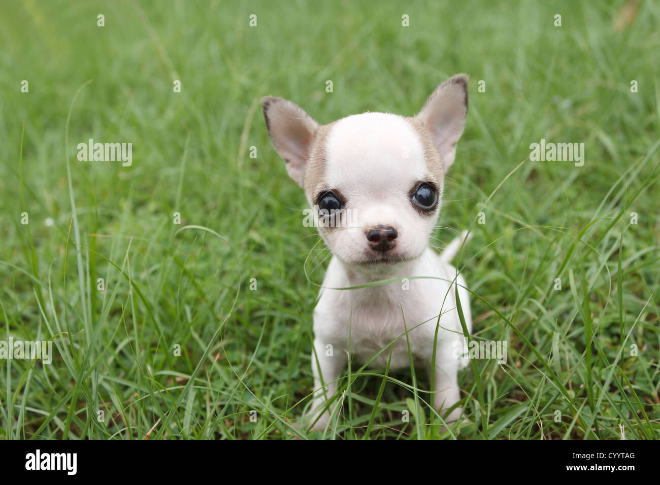 Puppy chihuahua sitting at the grass - Stock Image
