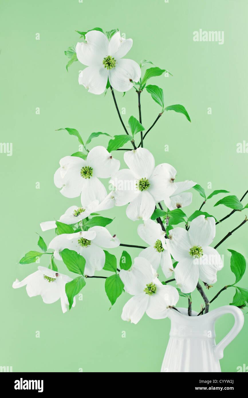 White Dogwood Stock Photos & White Dogwood Stock Images - Alamy