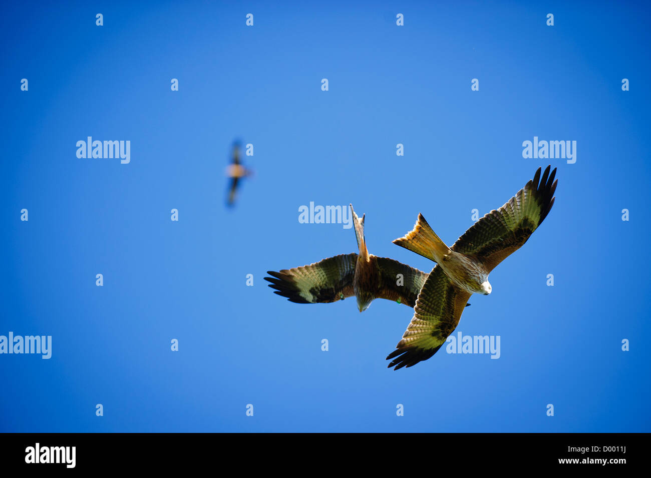 Red Kites fly agains a backdrop of a pure blue sky at the red kite feeding center, Landdeusant, Carmarthenshire - Stock Image