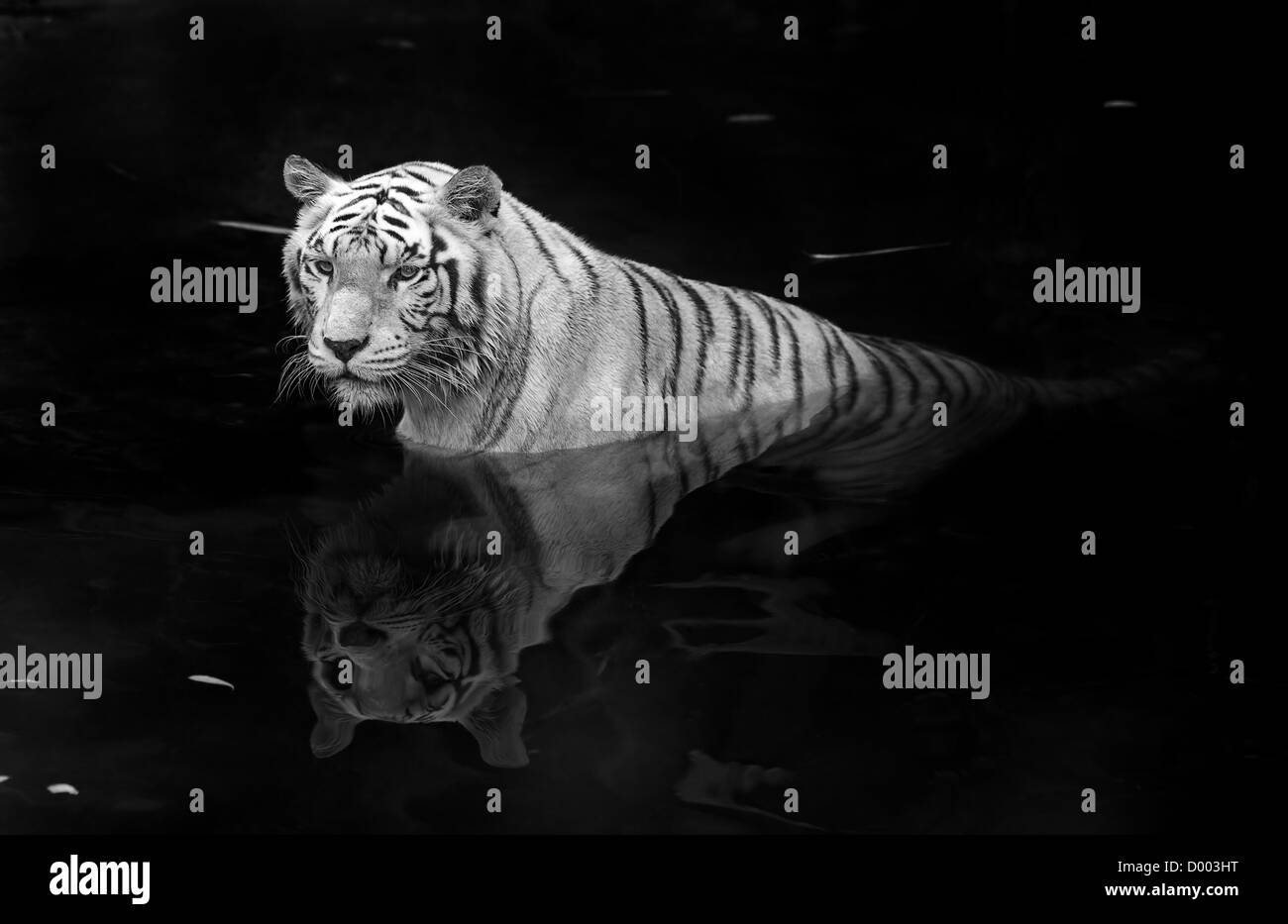 Black and white picture of a white tiger standing in water - Stock Image
