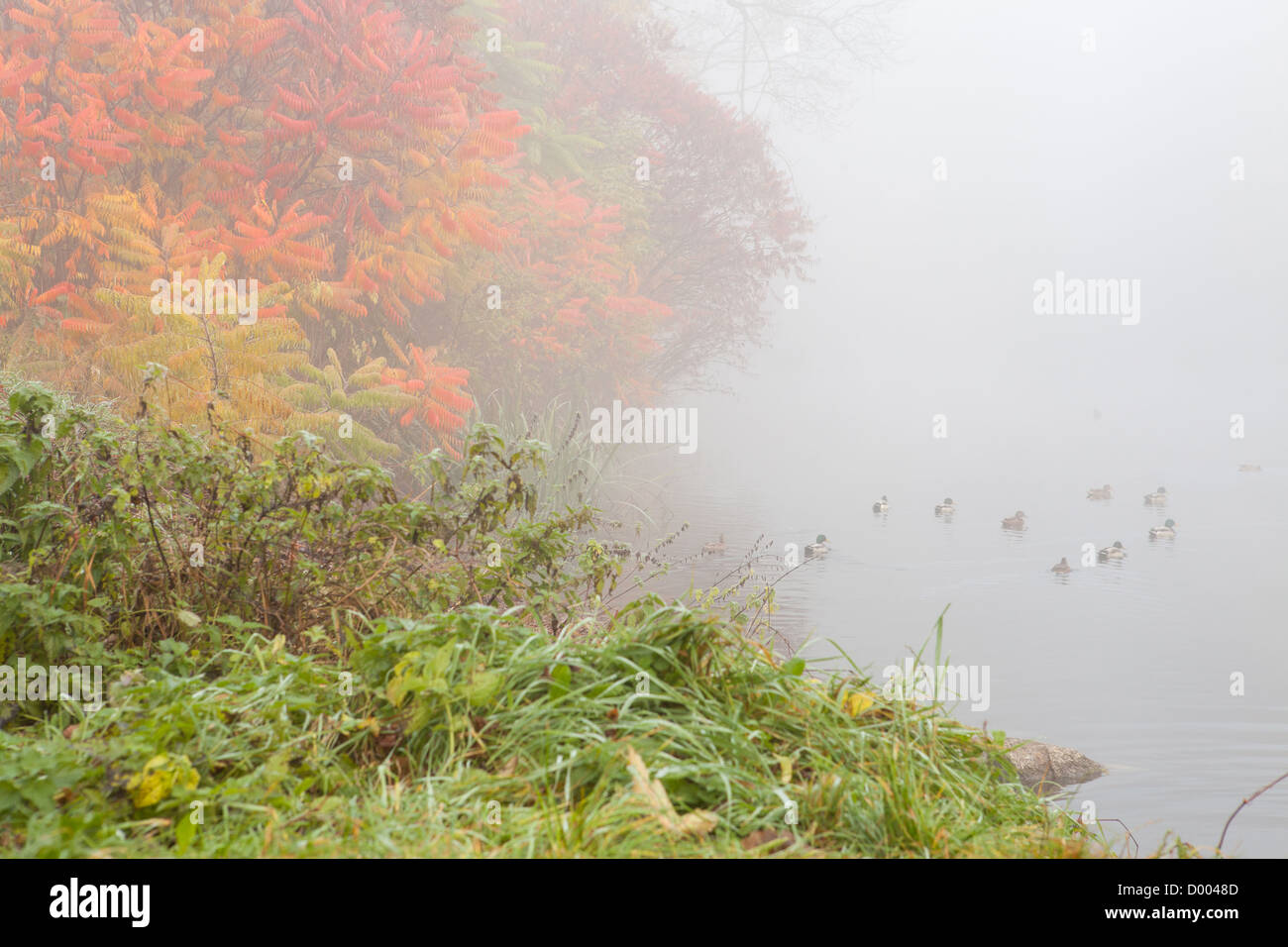 Autumn pond with ducks in a fog, nature Stock Photo