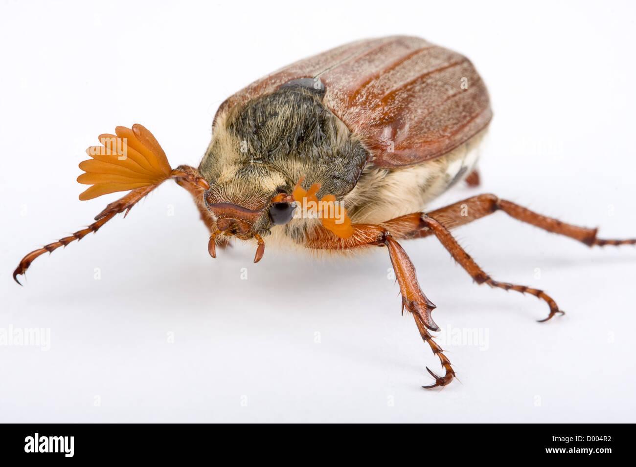 Maybug beetle showing his beautiful fingerlike antenna Stock Photo