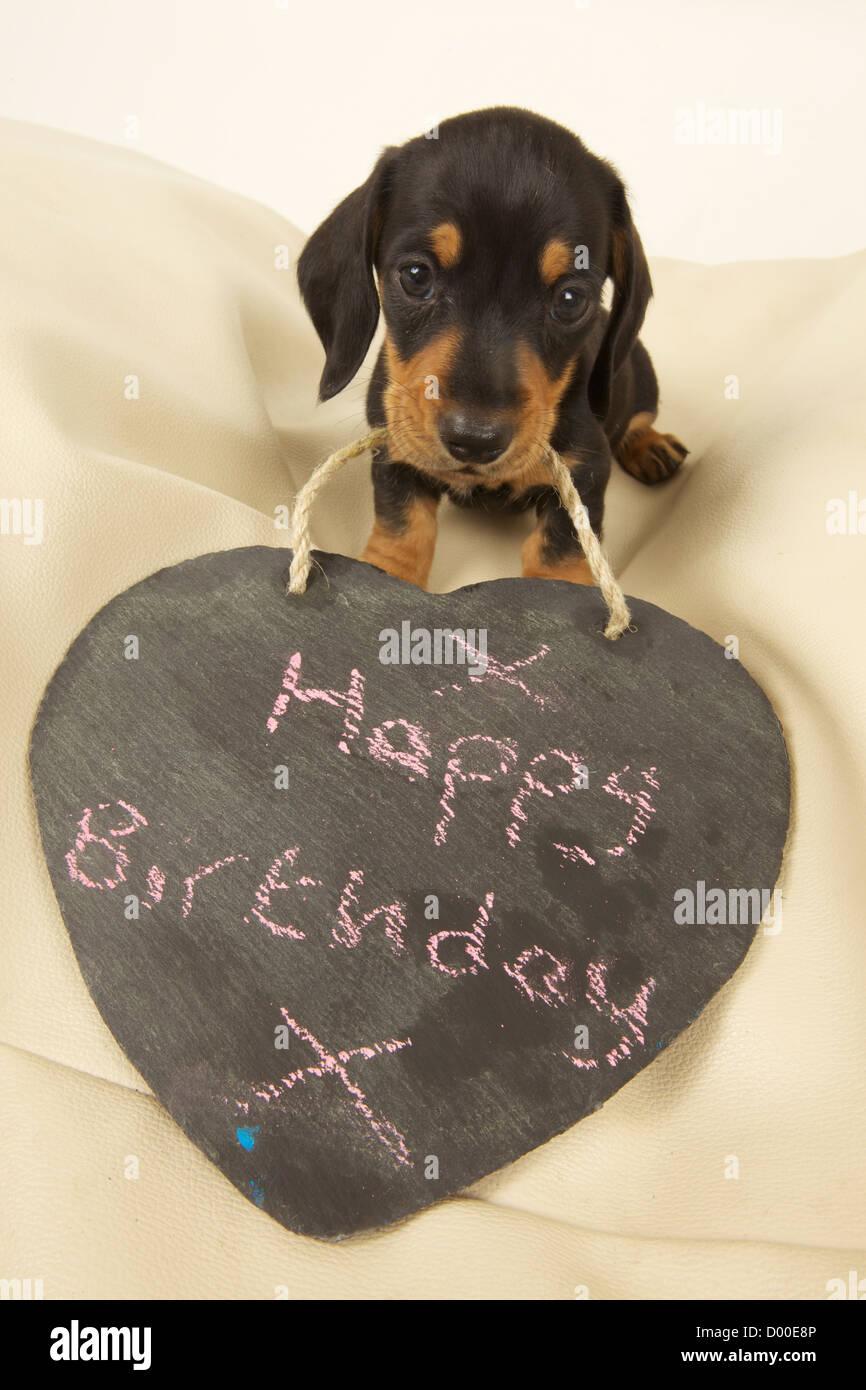 Happy Birthday Wishes from Dachshund Puppy Stock Photo: 51642326 - Alamy