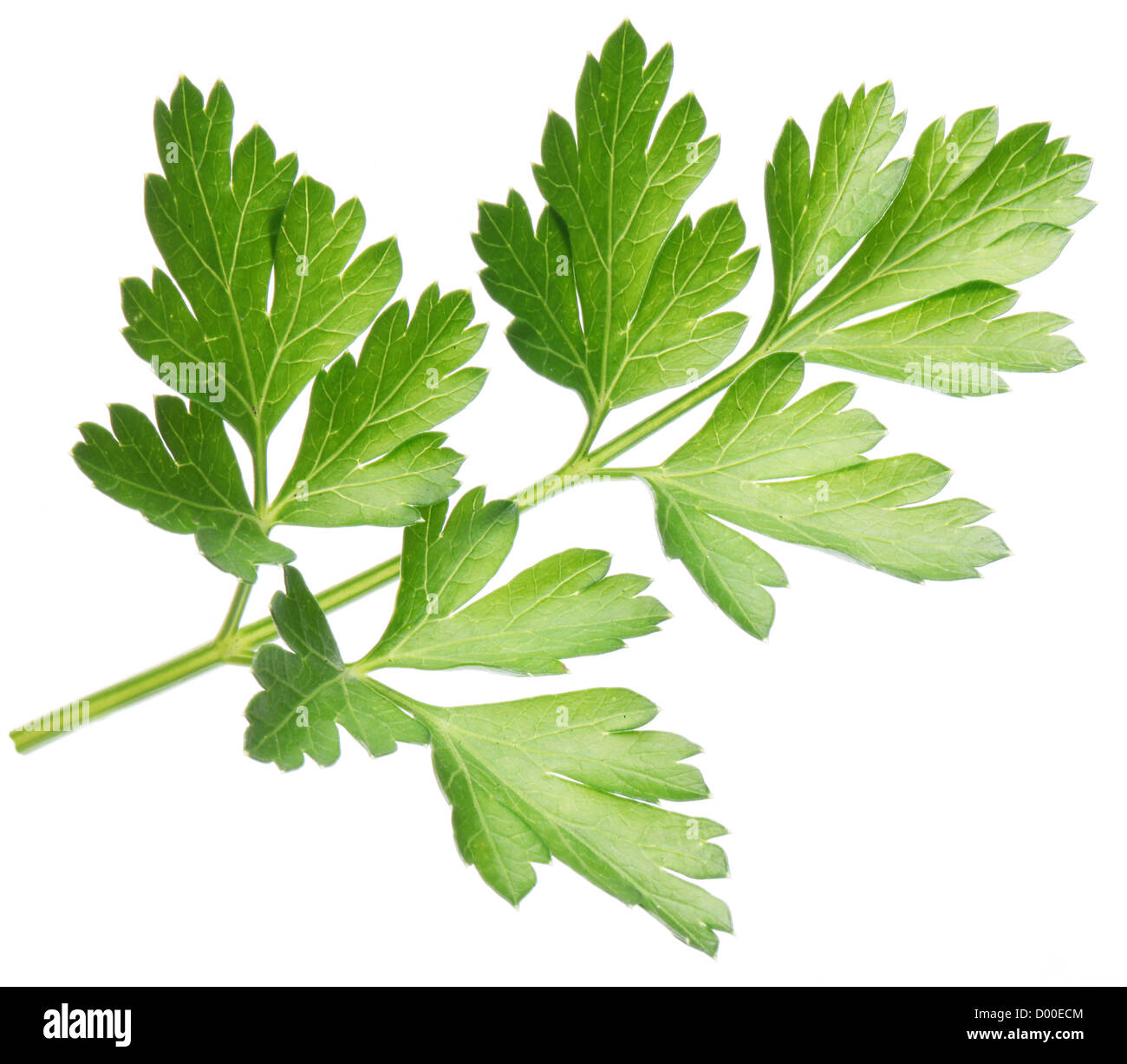 Parsley on a white background. - Stock Image