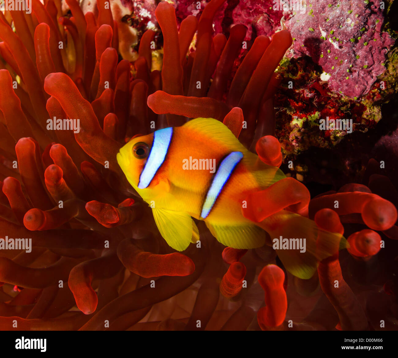 Two Clown Fish Swimming Stock Photos & Two Clown Fish Swimming Stock ...