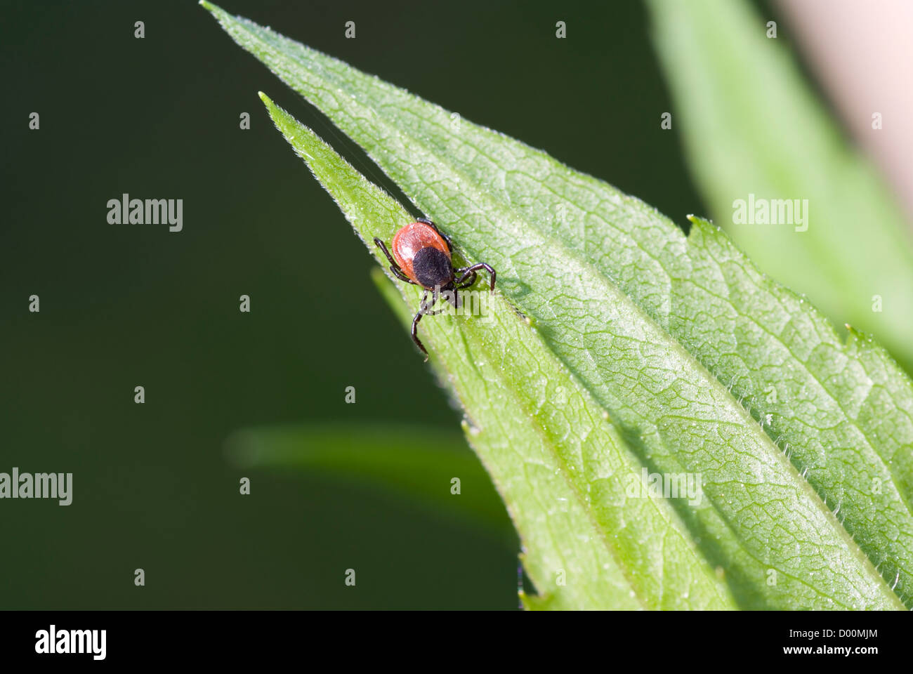 small hungry tick sits and waits on meal - Stock Image