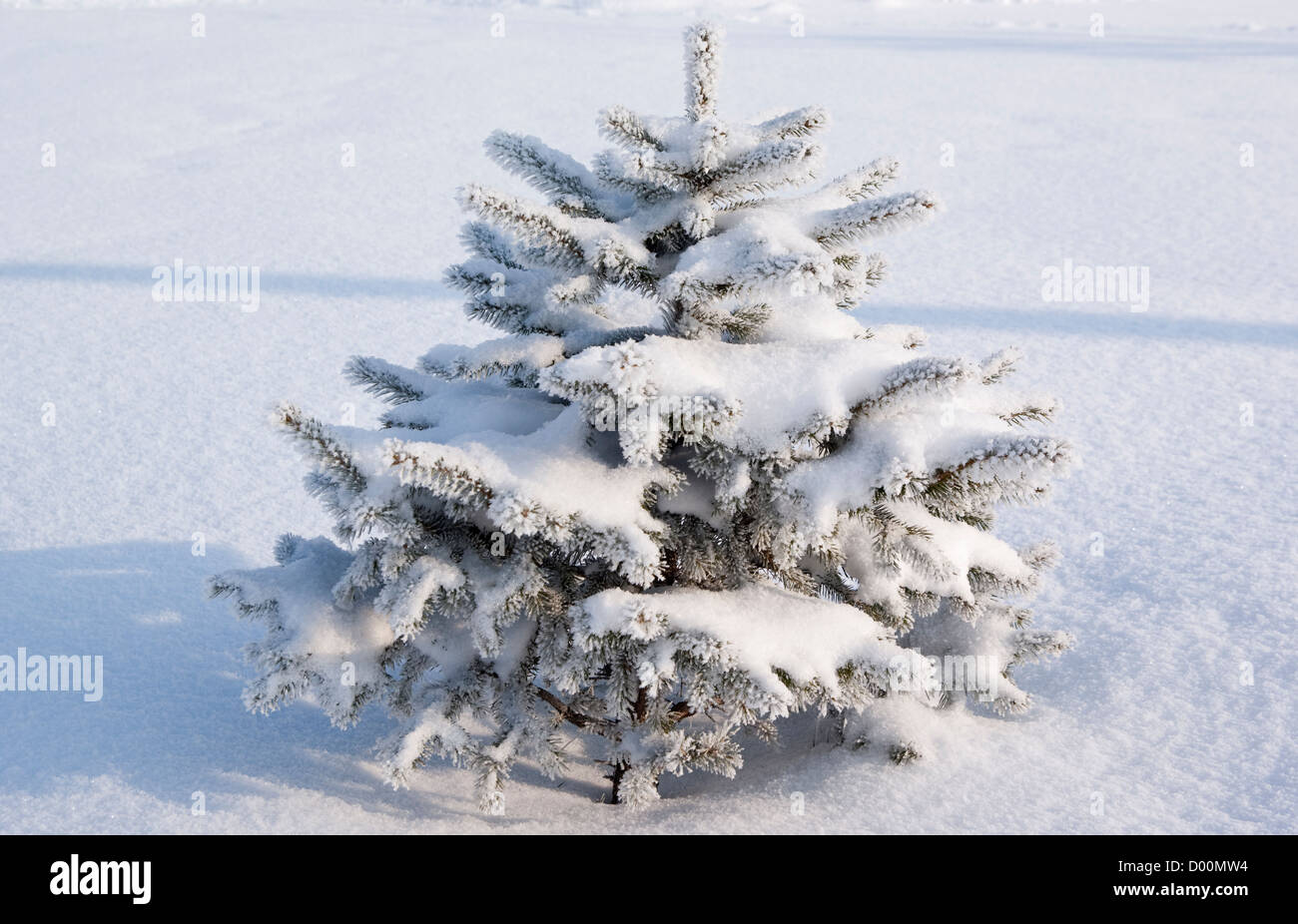 tree spruce(Picea A. Dietrich) in winter scenery - Stock Image
