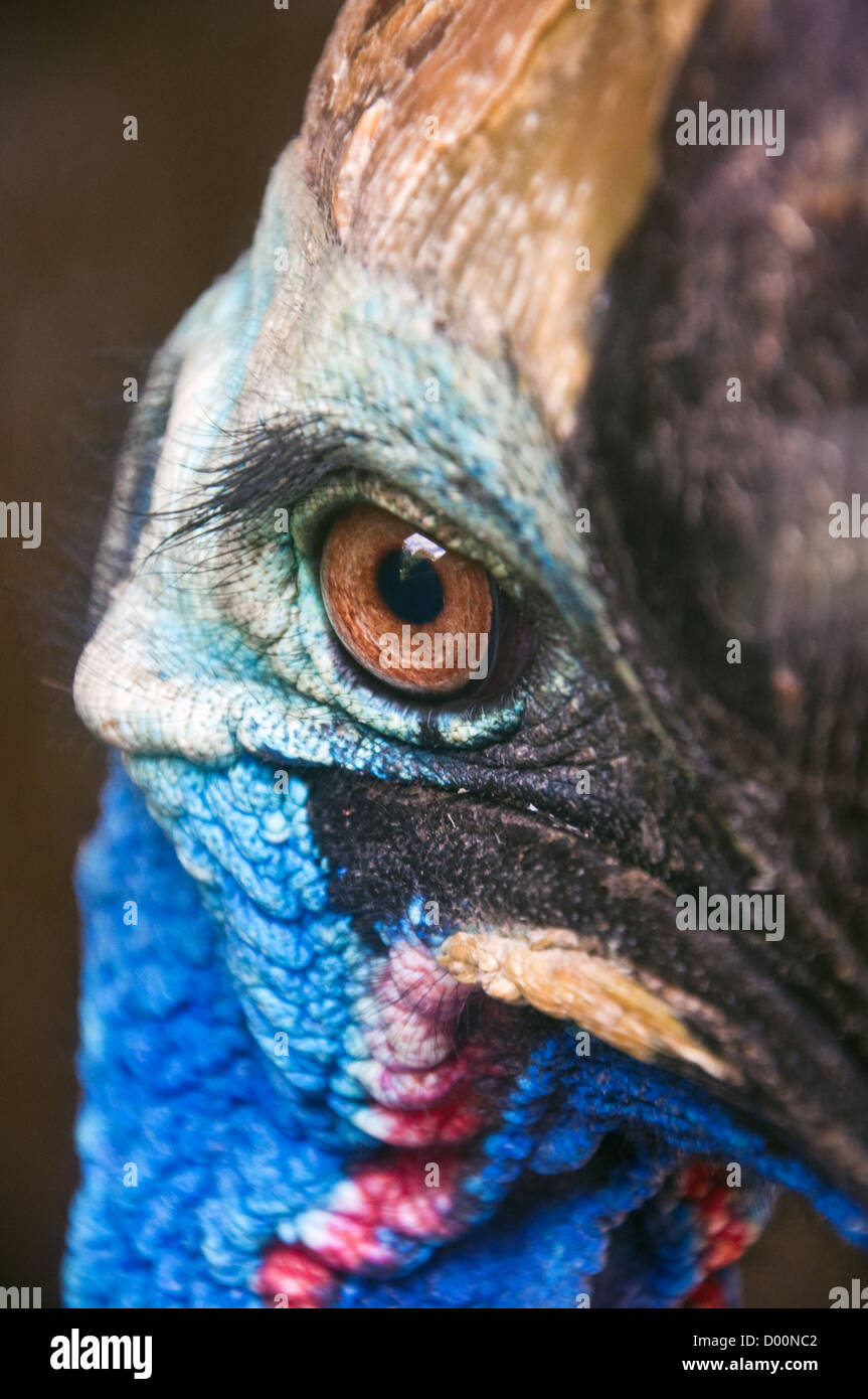 Close up of Cassowary head shot closeup, australian bird - Stock Image