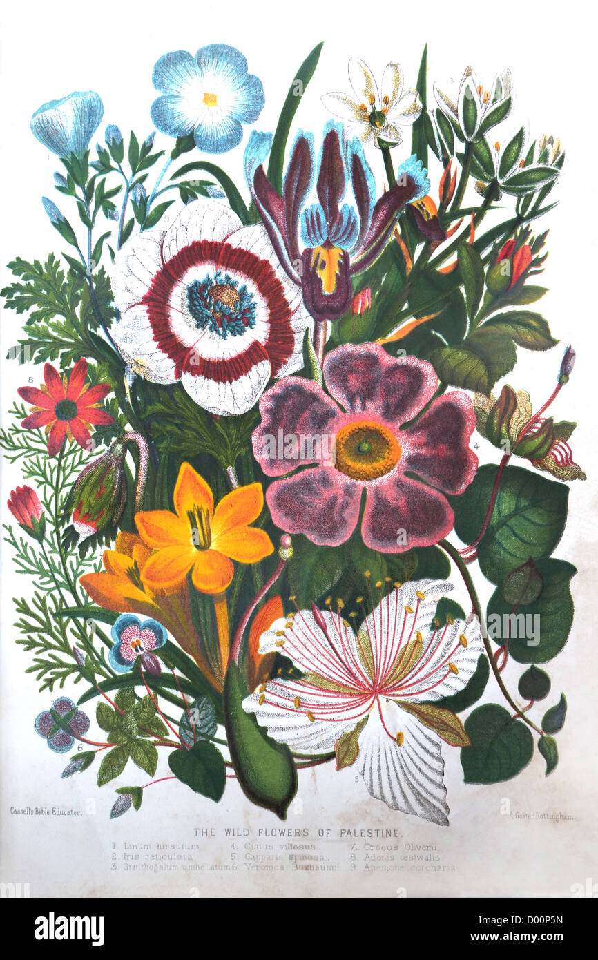 Illustration of The Wild Flowers Of Palestine Plants Of The Bible From The Book Cassell's Bible Educator - Stock Image