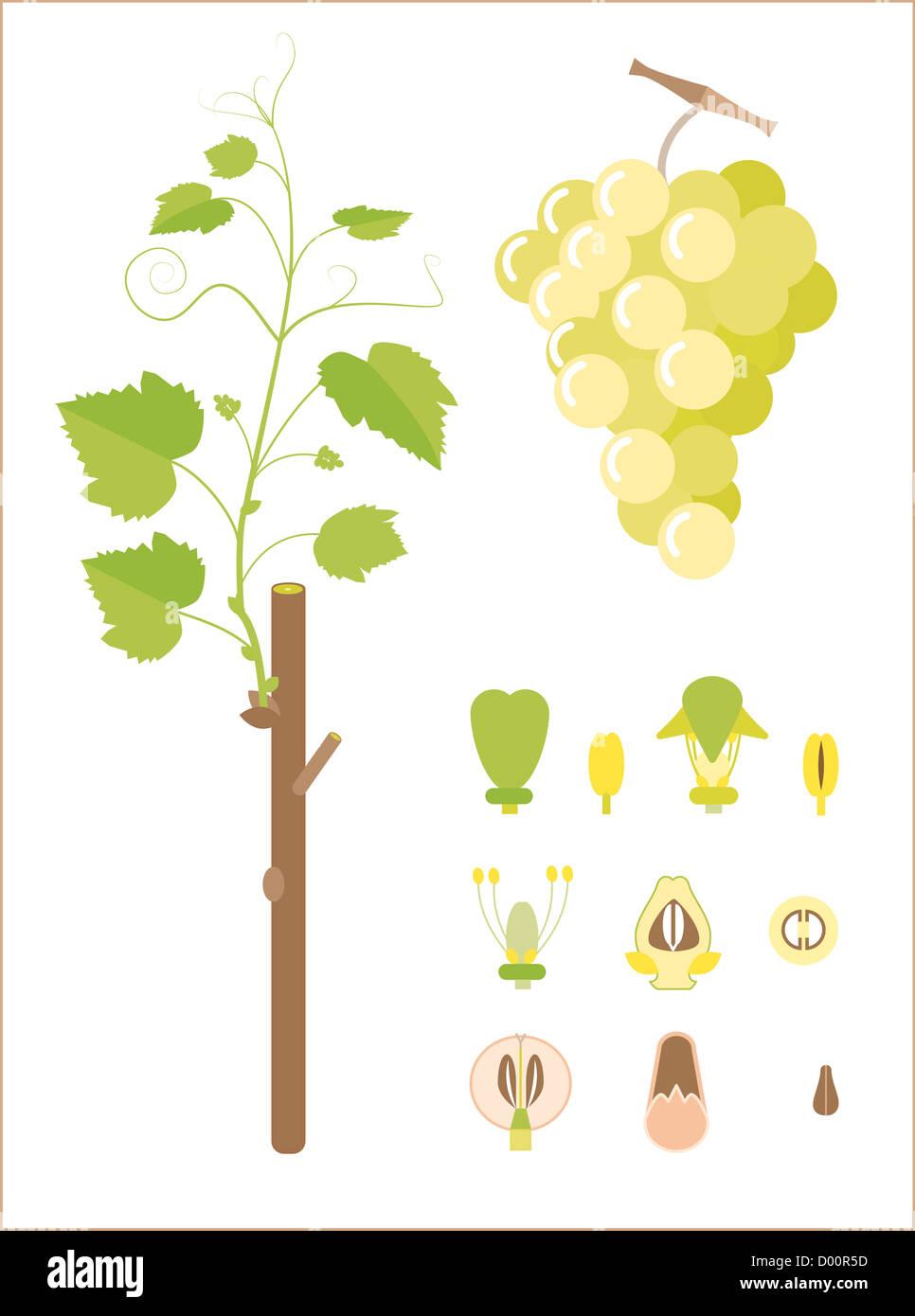 Anatomy Grape Stock Photos & Anatomy Grape Stock Images - Alamy
