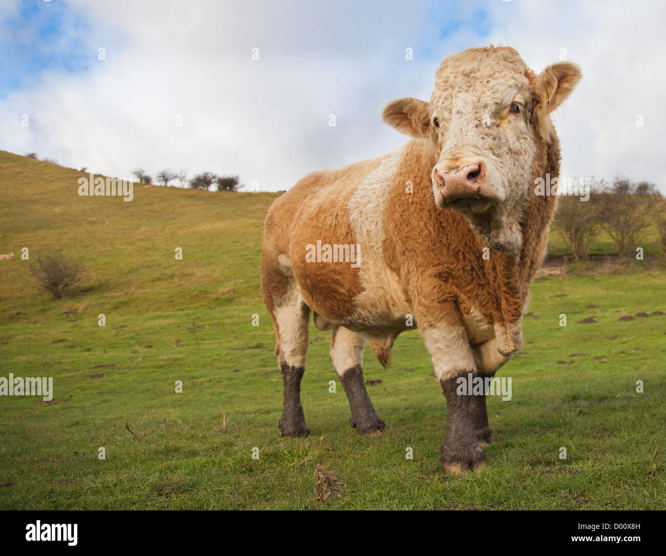 Close up of a Large imposing bull cattle cow - Stock Image