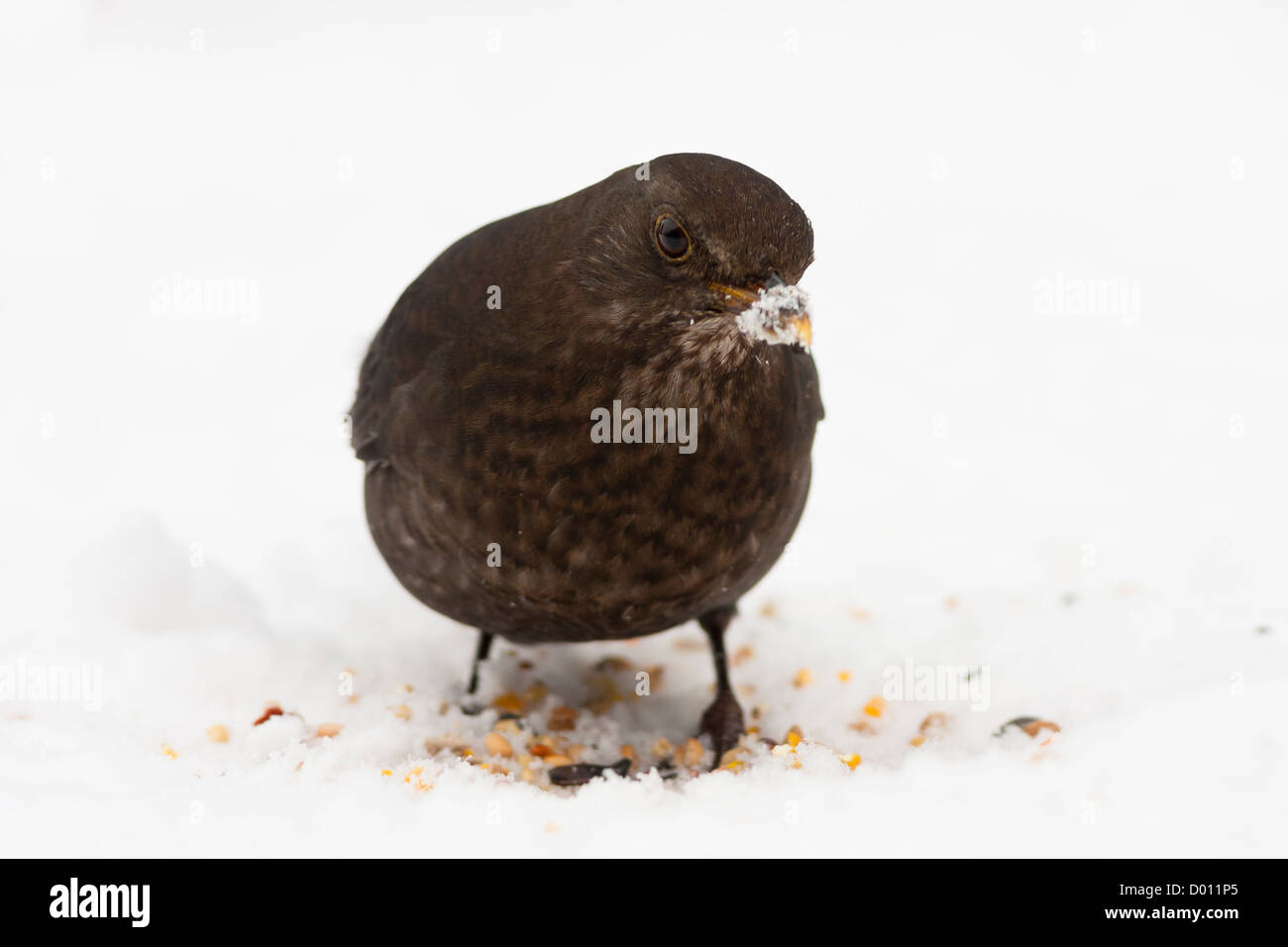 Blackbird female in snow with food and snowy beak - Stock Image