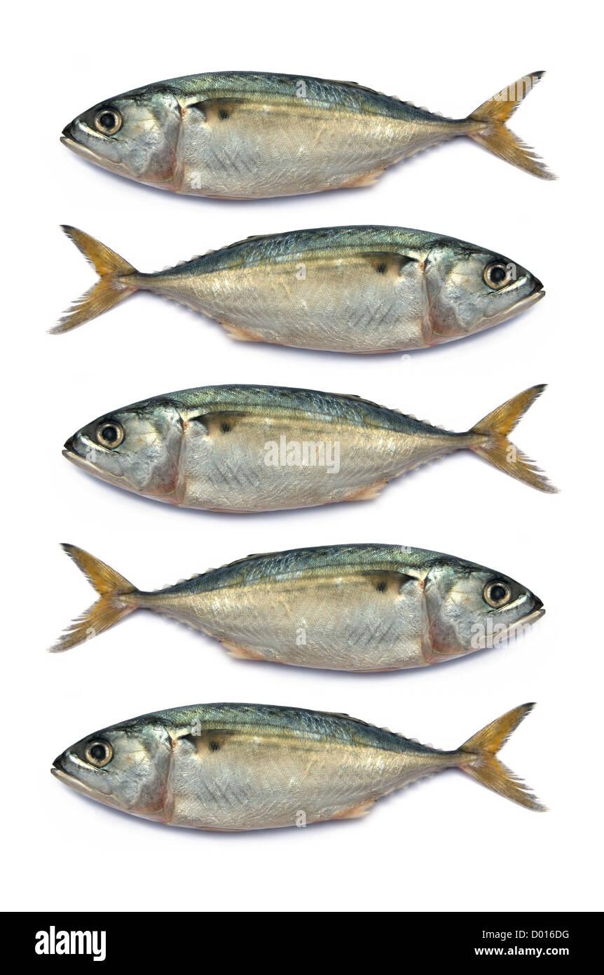 Fresh mackerel fish isolated on the white background - Stock Image
