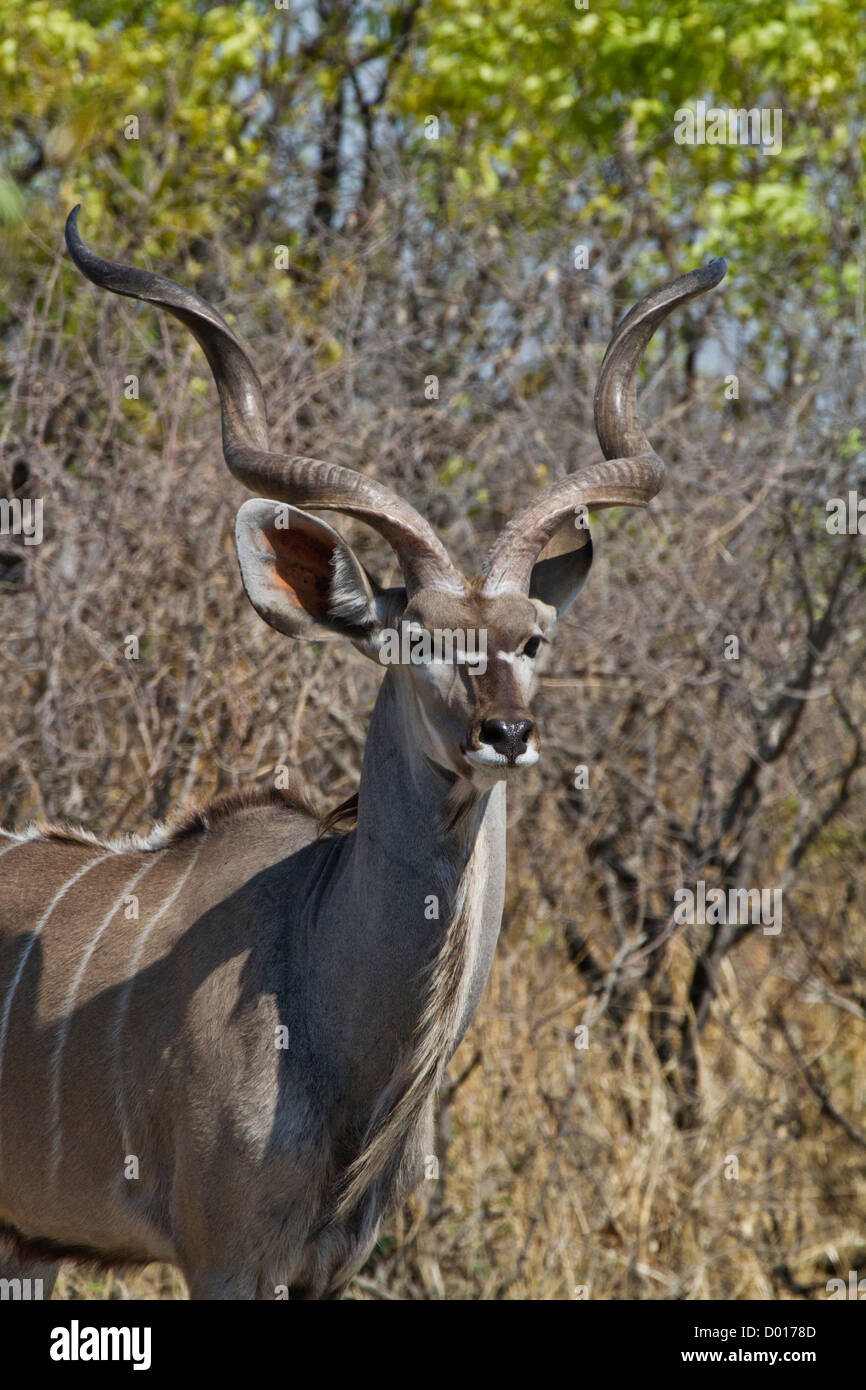 Greater Kudu looks for enemies - Stock Image