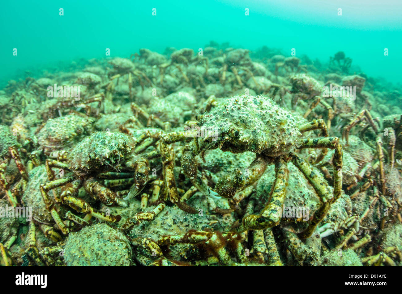 Giant Spider Crab Aggregation. - Stock Image