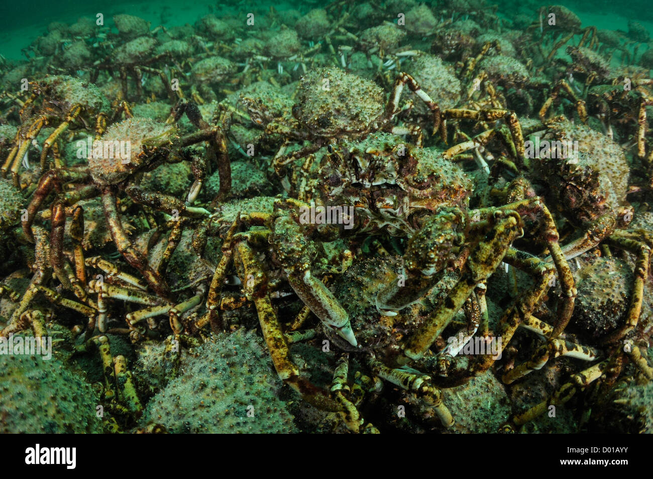 Spider Crab and Friends. - Stock Image