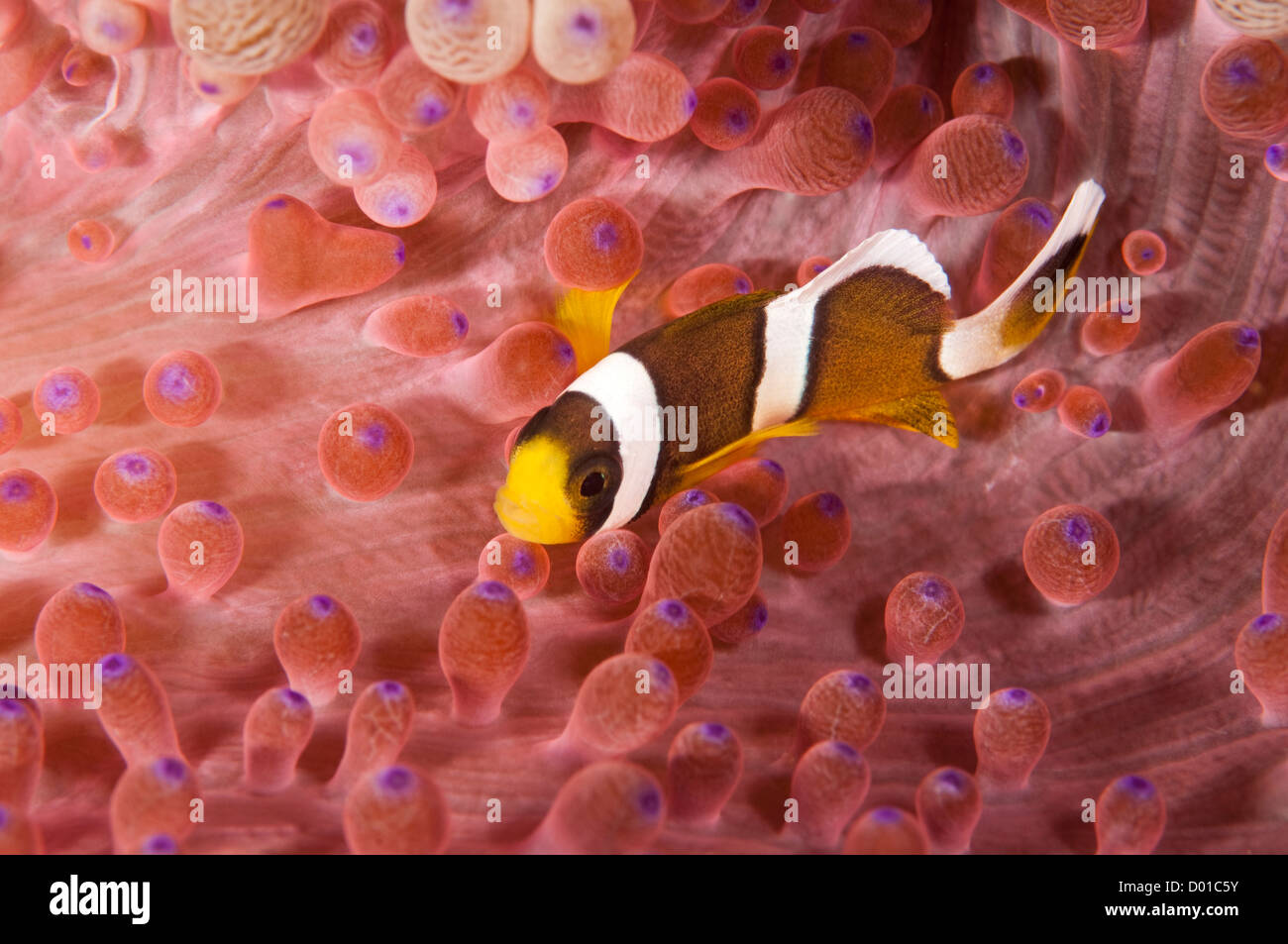 Juvenile Clark anemonefish, Amphiprion clarkii, in a colorful anemone Komodo Indonesia - Stock Image