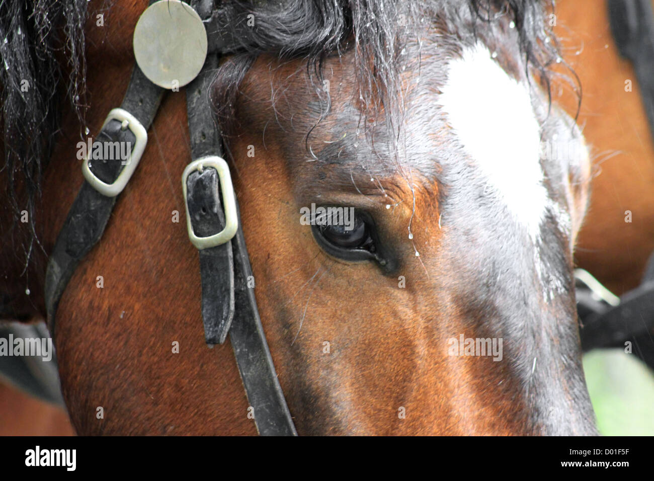 Bay horse in a harness - Stock Image