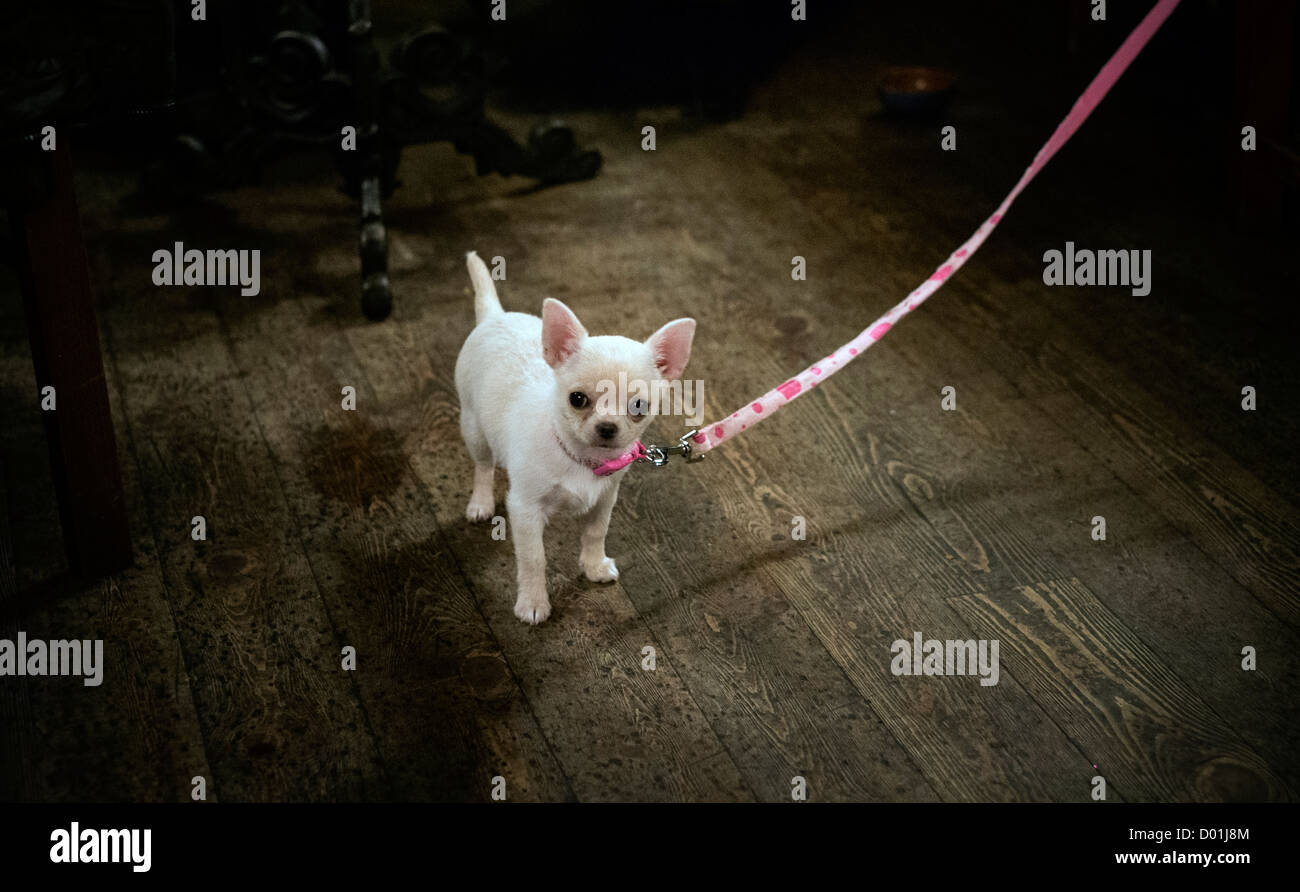 A Chihuahua puppy on a pink lead. - Stock Image