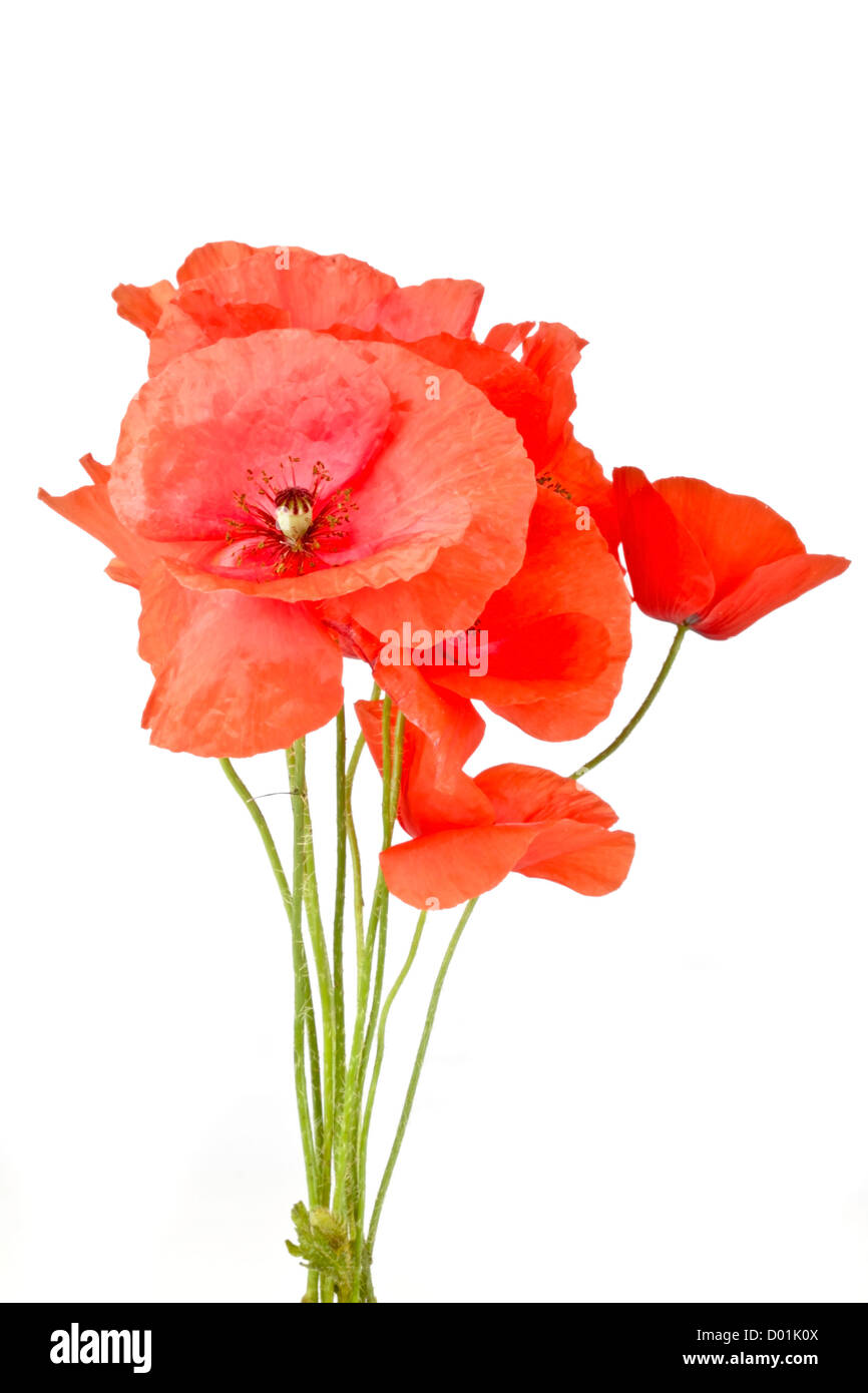 Bouquet of poppy flowers on a white background - Stock Image