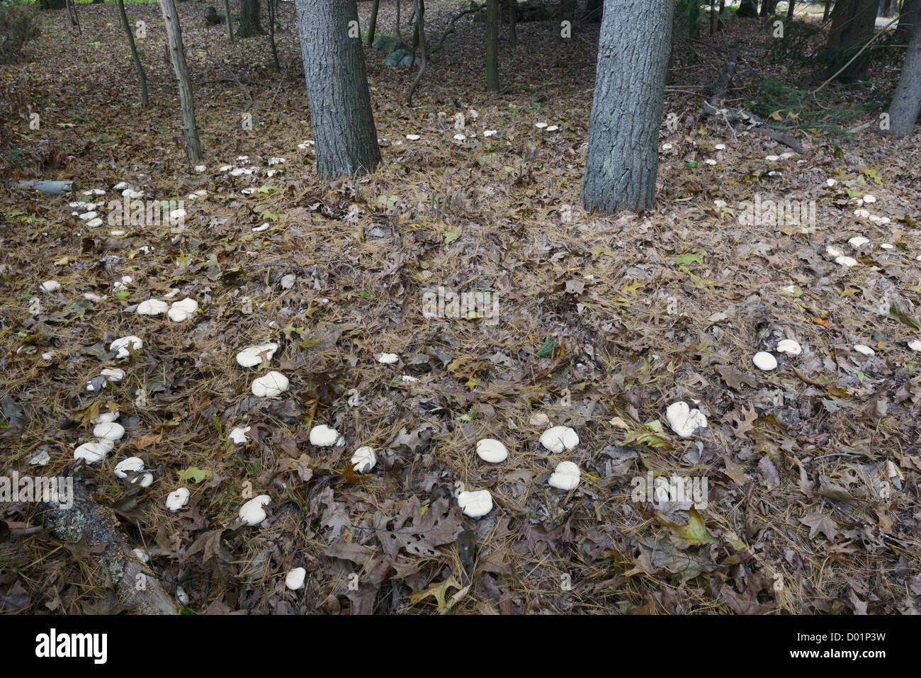 Fairy ring of mushrooms, mixed hardwood forest, Eastern U.S. Tethered mycorrhizal  fungi symbiotic with the trees - Stock Image
