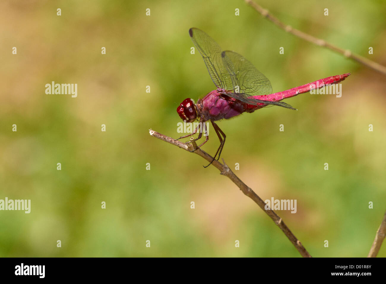 Red libelula on a branch - Stock Image