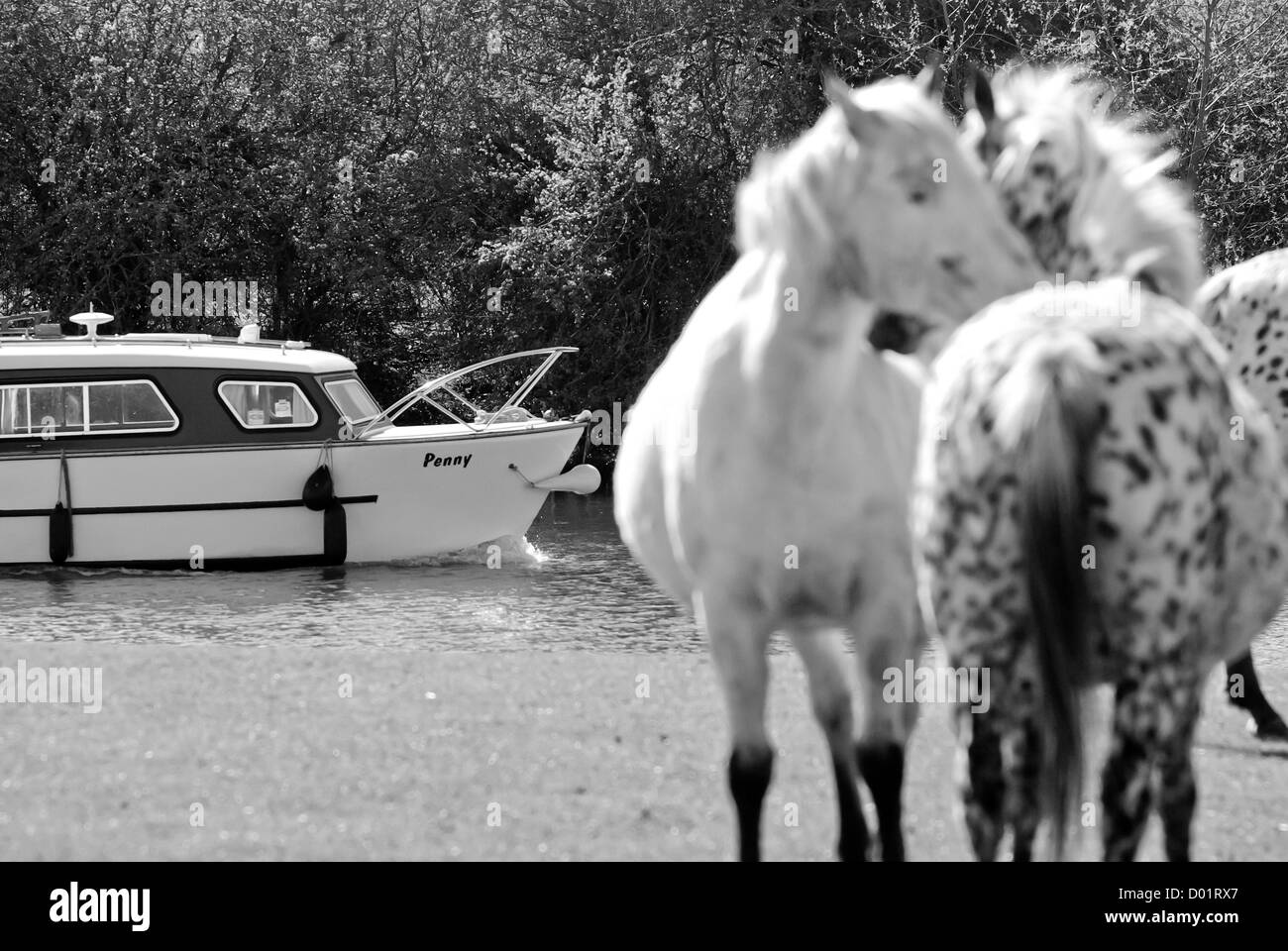 Black and white image of boat travelling up river Thames on Port Meadow, Oxford, UK with horses in foreground - Stock Image