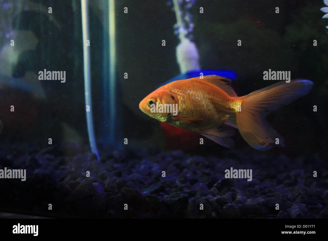 Freshwater Fish Aquarium Fish Tropical Fish Pictures Of Fish