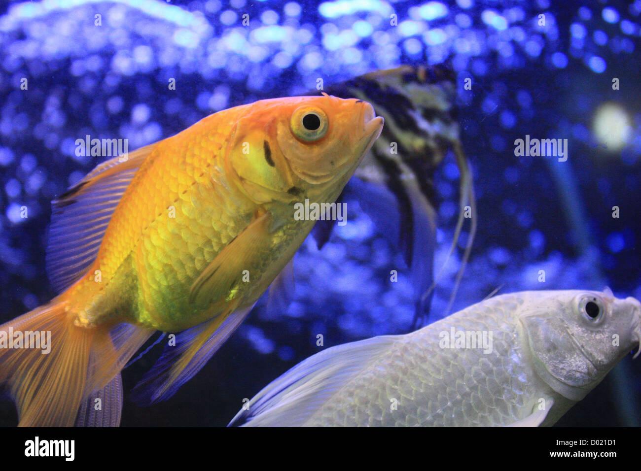 freshwater fish, aquarium fish, tropical fish, pictures of