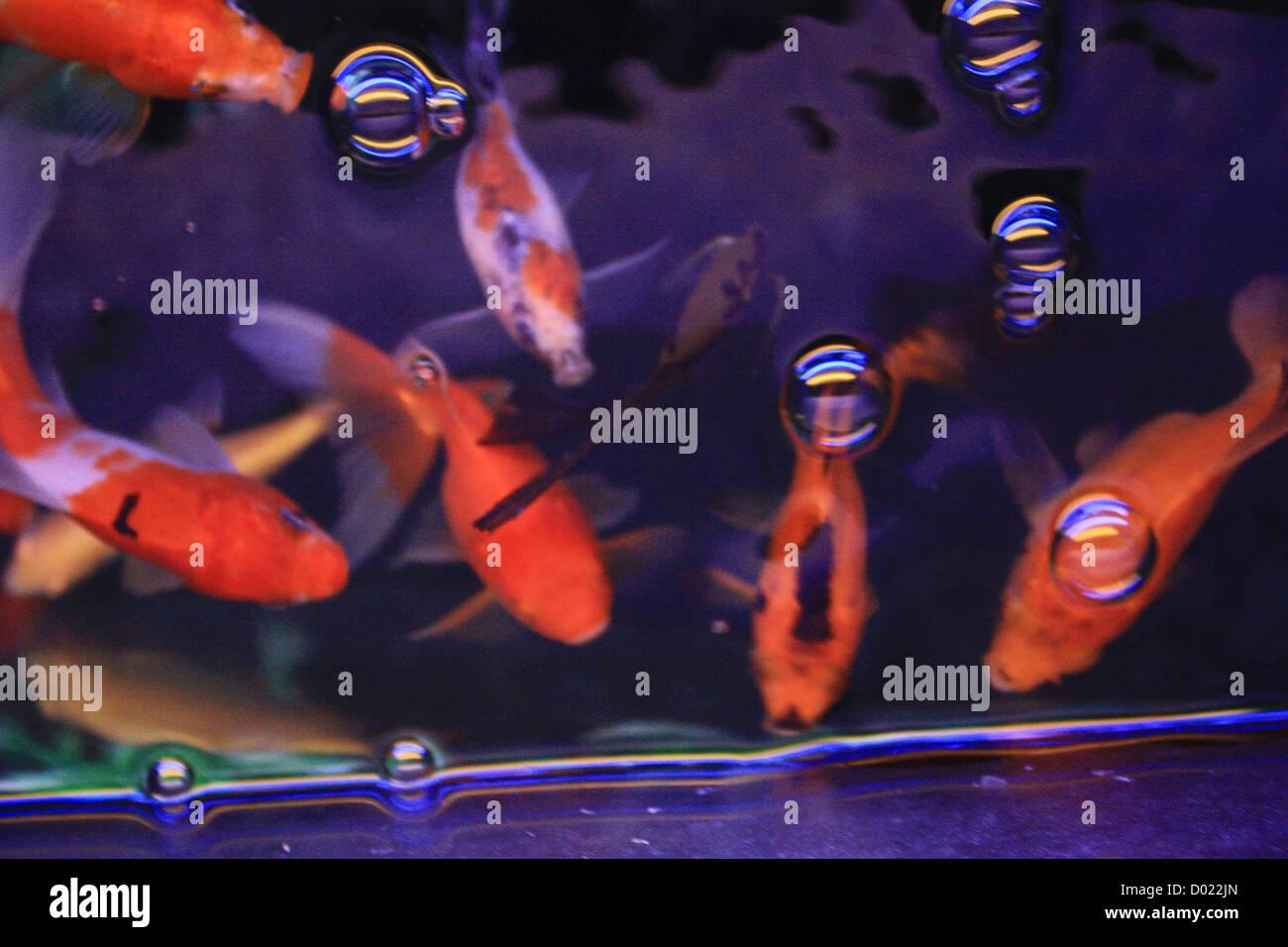 freshwater fish, aquarium fish, tropical fish, pictures of fish