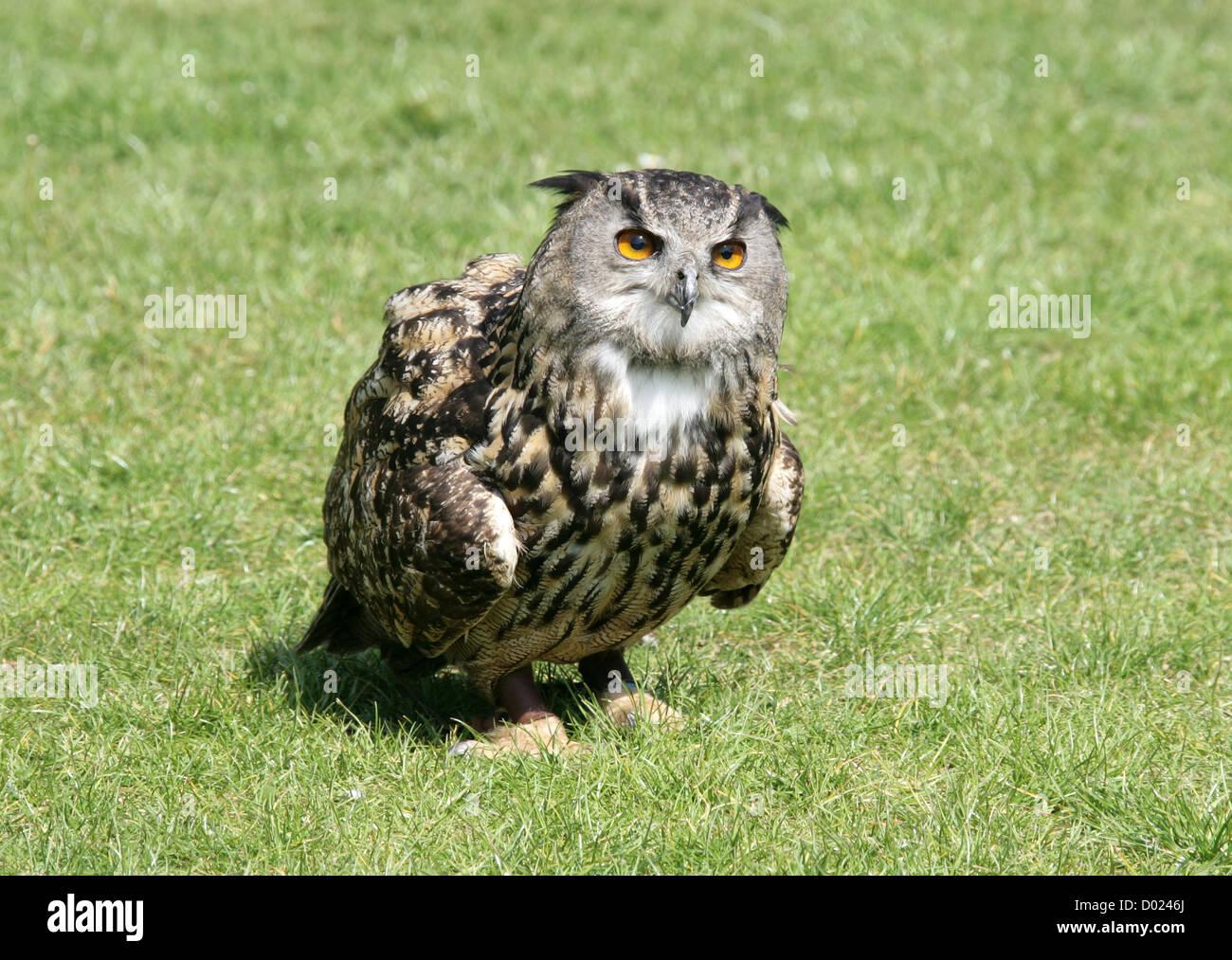 European Eagle Owl, Bubo bubo, Strigidae. - Stock Image